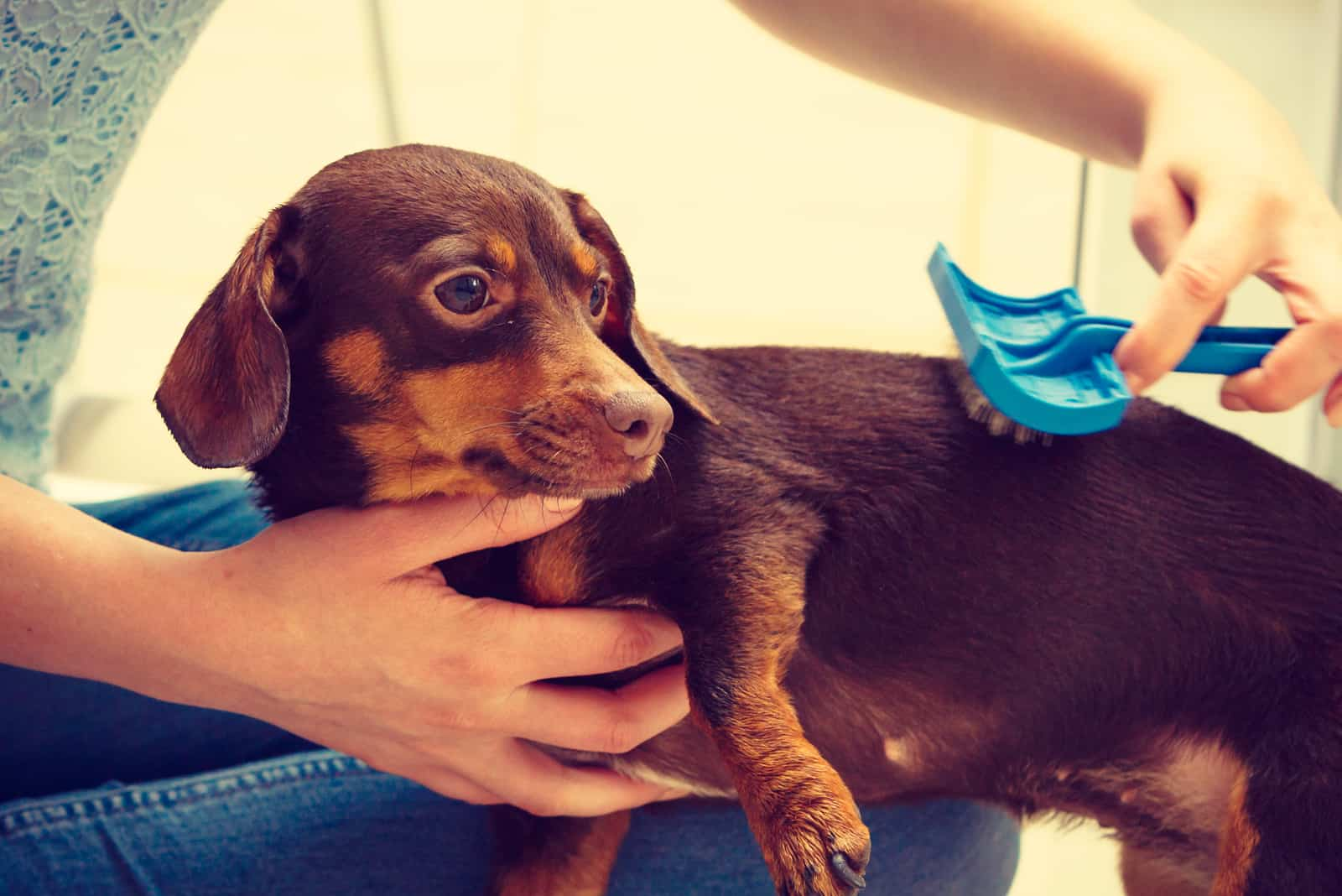 Woman taking care of her dachshund combing puppy hair using dog brush