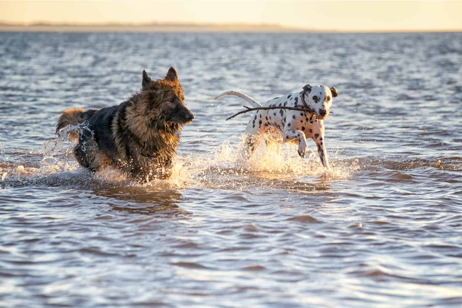 a German Shepherd and a Dalmatian run by the sea