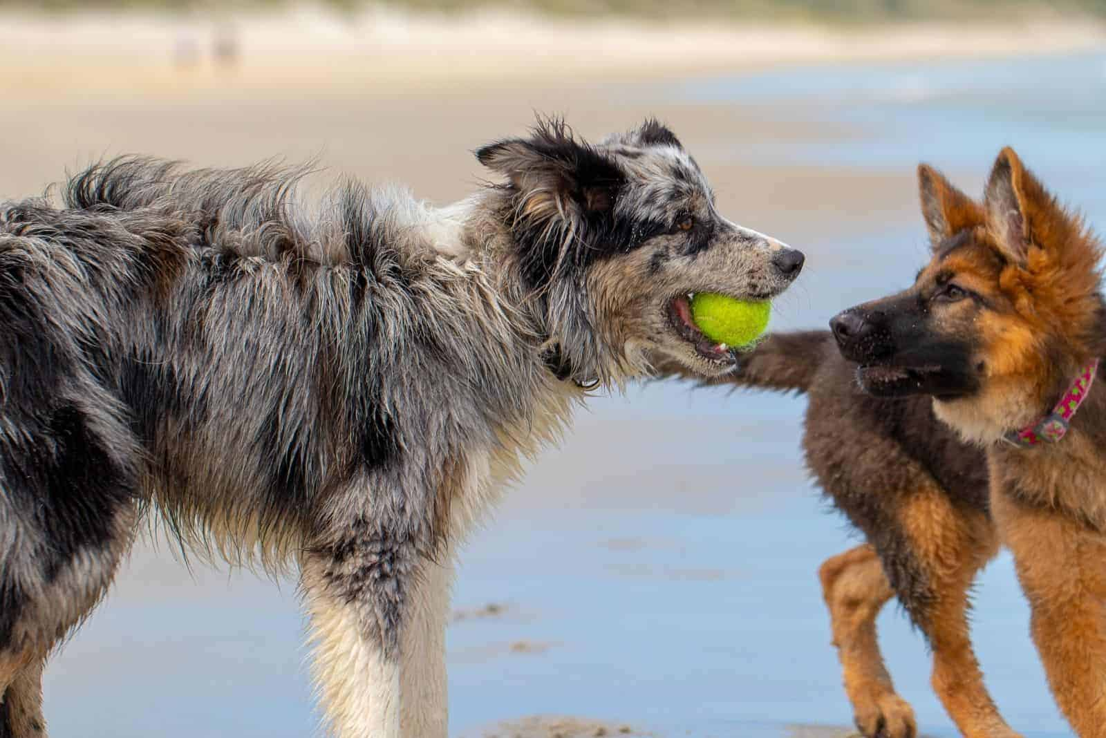 a German Shepherd dog plays with another dog
