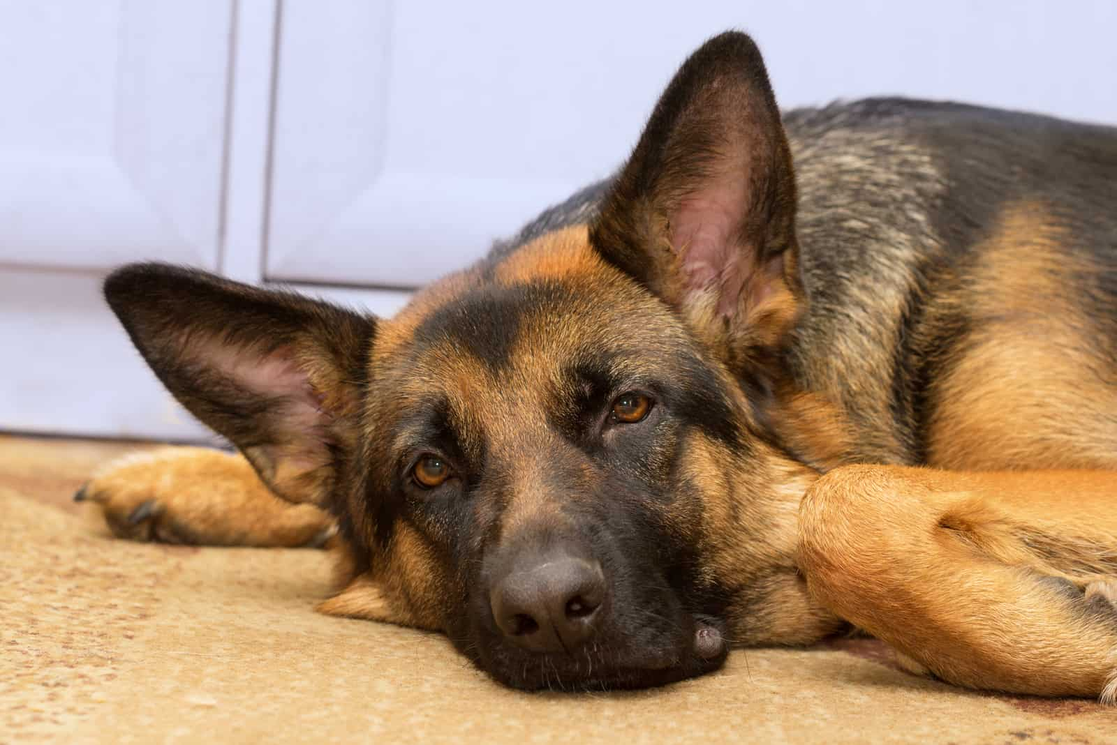 a German Shepherd is lying on the carpet