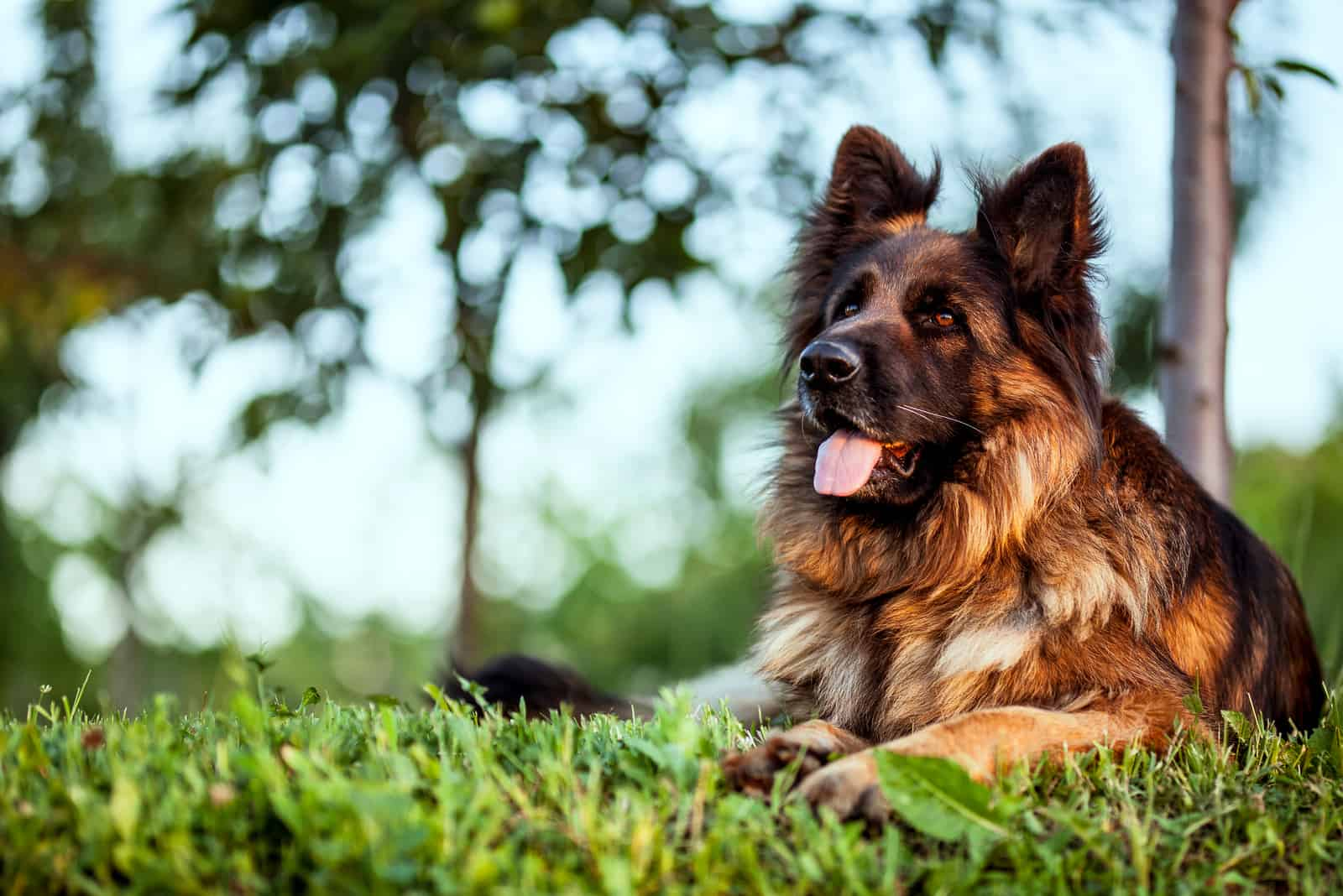 a German Shepherd is lying on the grass