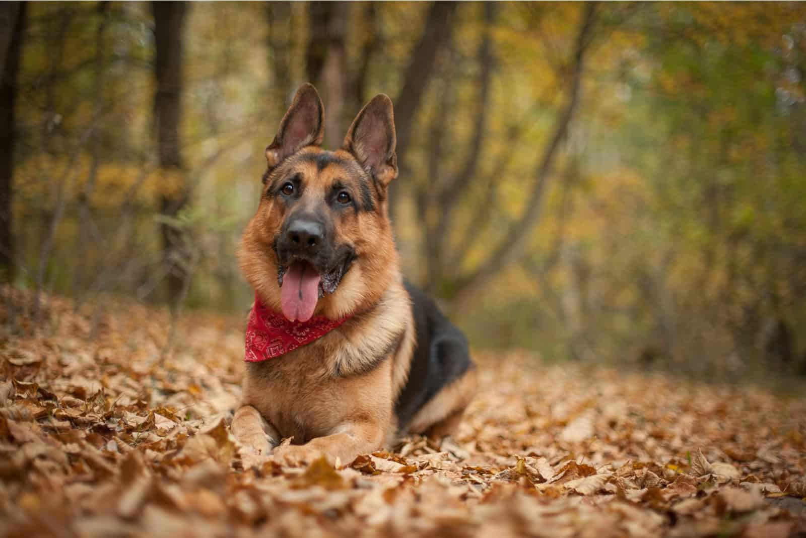 a German Shepherd lies and rests in the woods