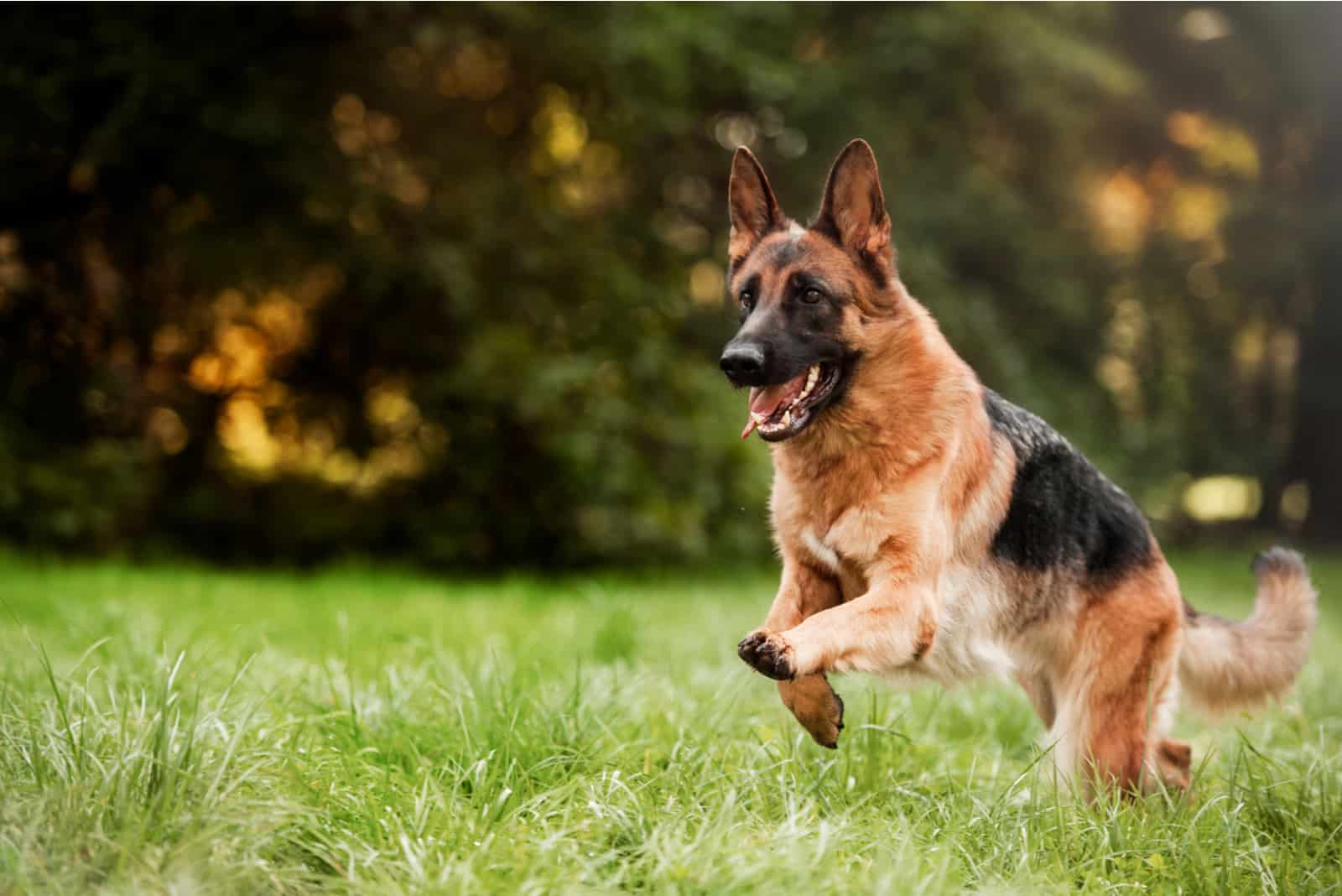 a German Shepherd runs in the park