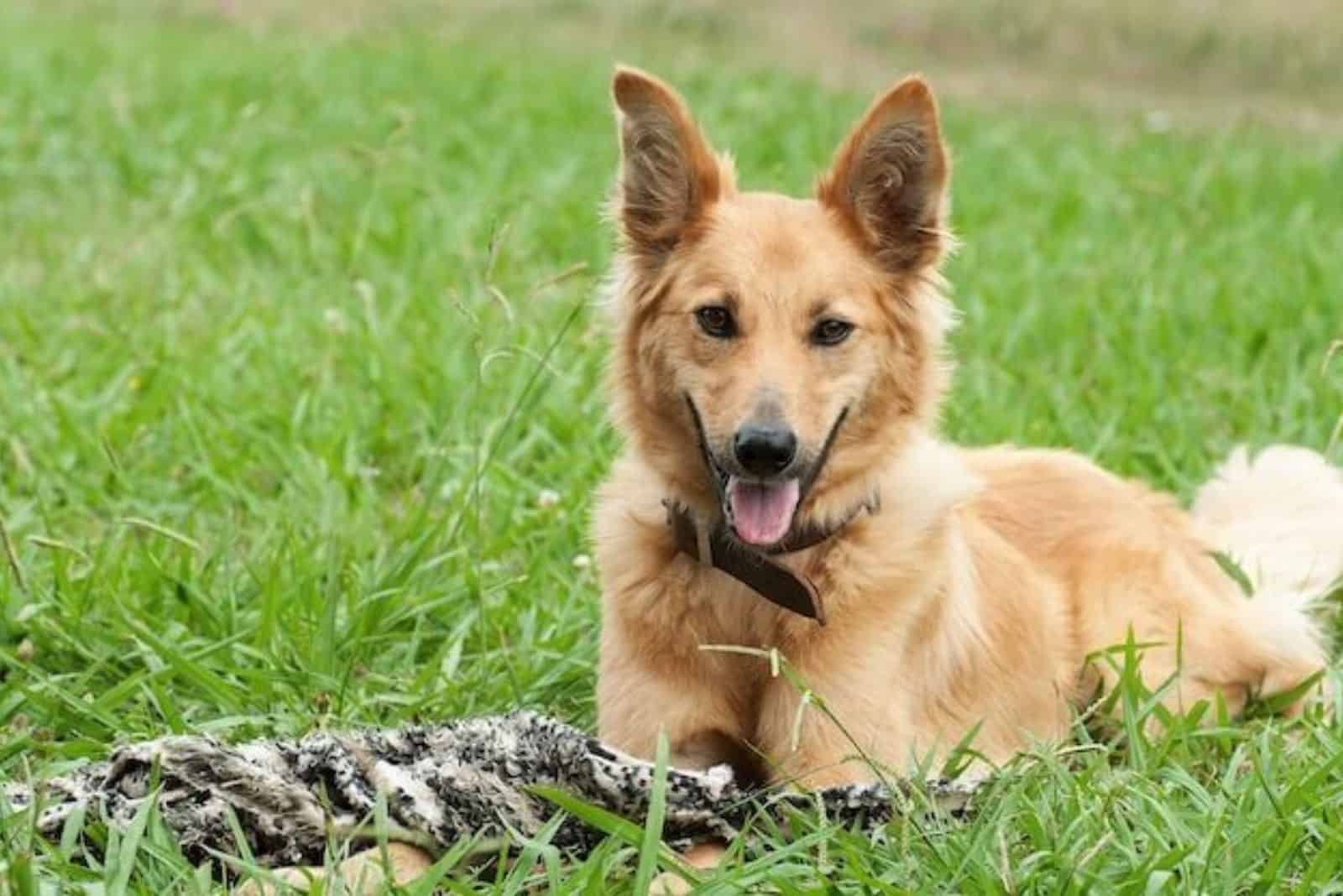 a beautiful brown crossbreed dog lying on the grass
