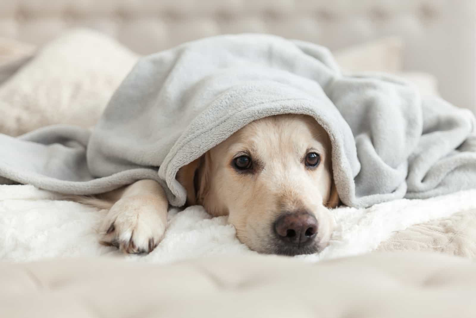 a beautiful white dog lies wrapped in a blanket
