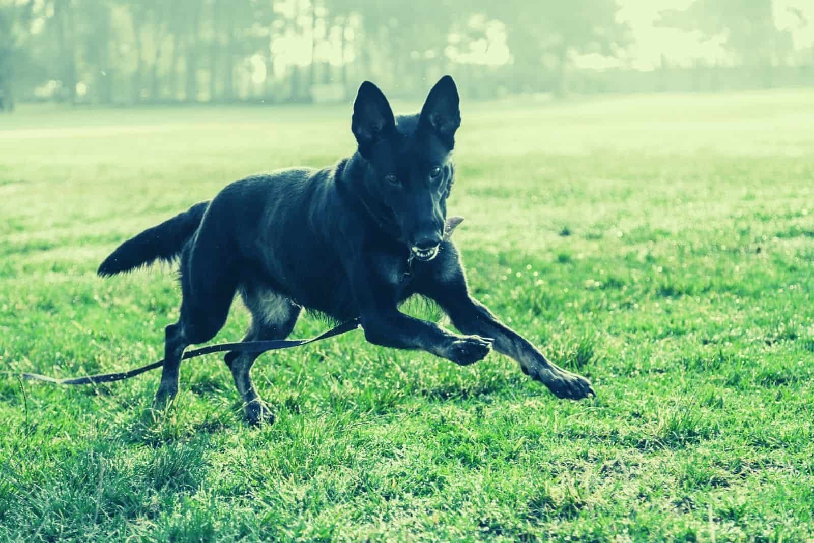 a black german shepherd in action running on the ground