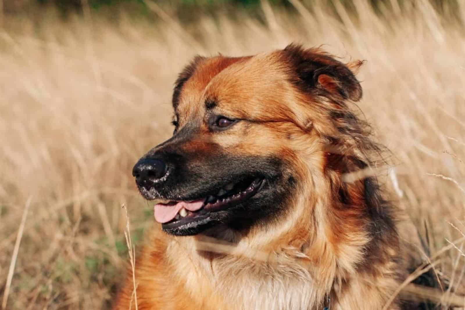 a crossbreed dog sits in a wheat field