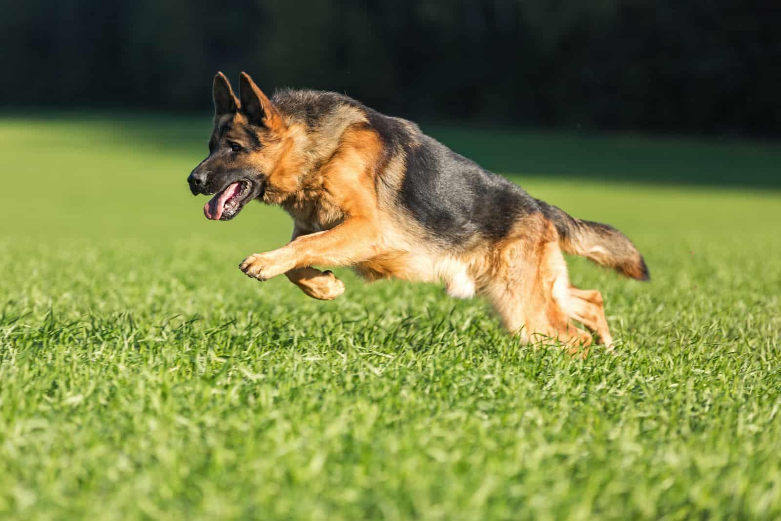 a german shepherd runs across the grass