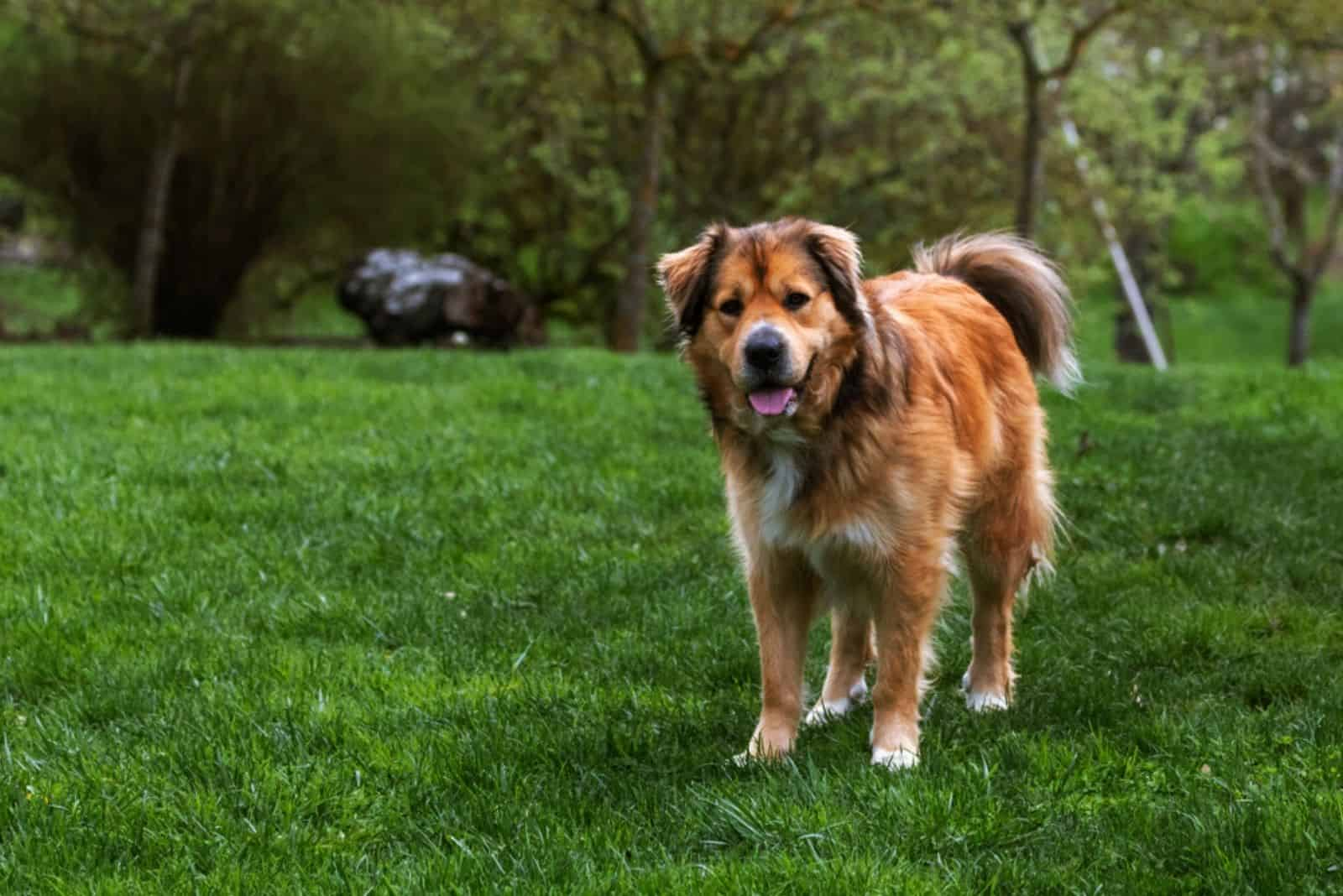 a large brown dog stands on the grass