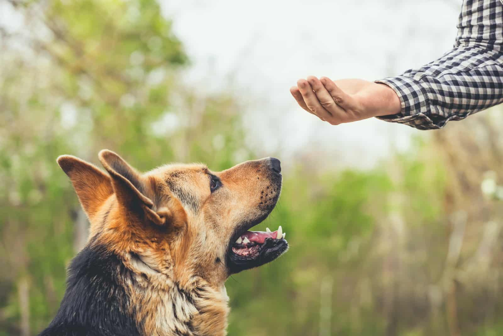a man gives a treat to a German shepherd