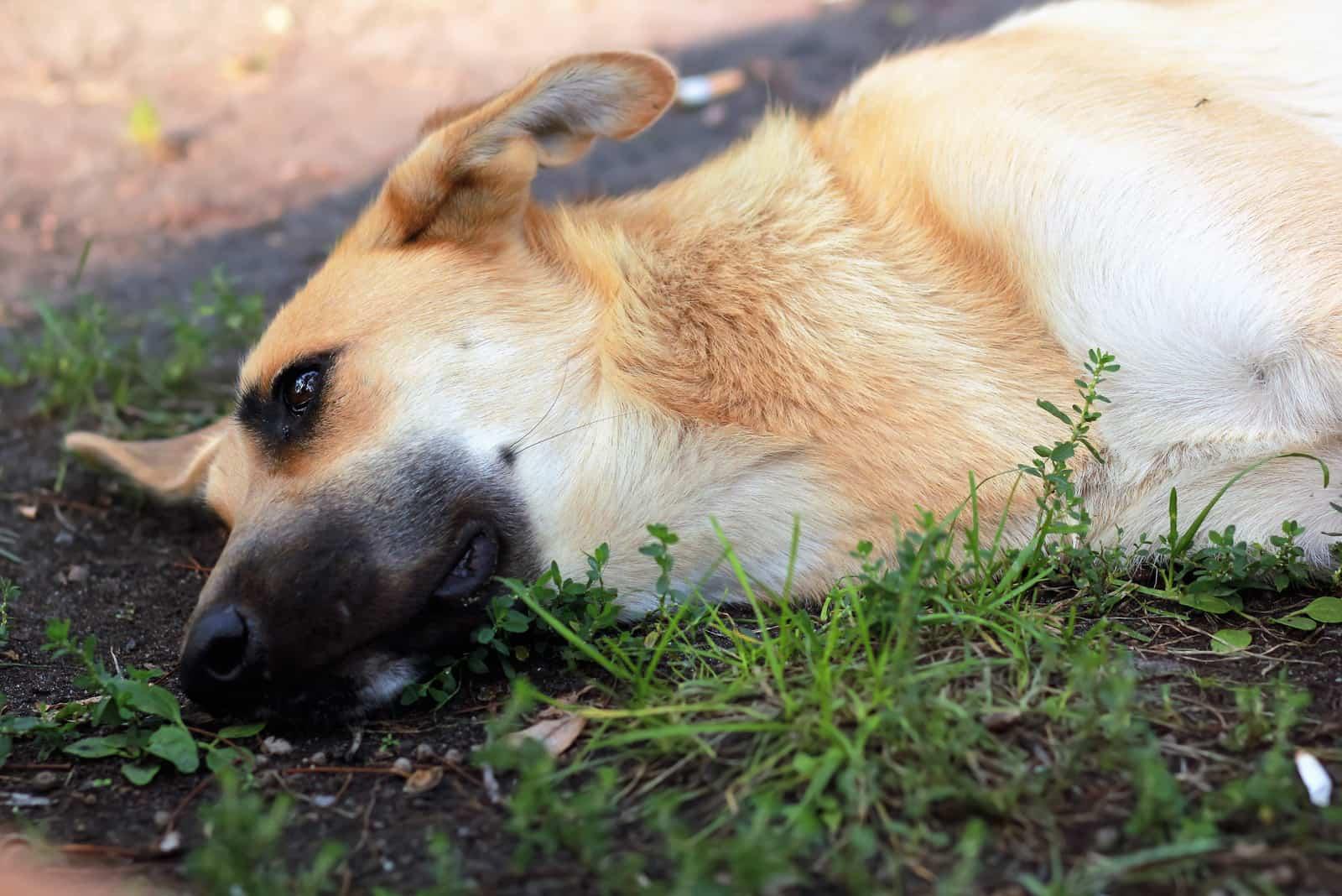 a sad dog lies on the ground