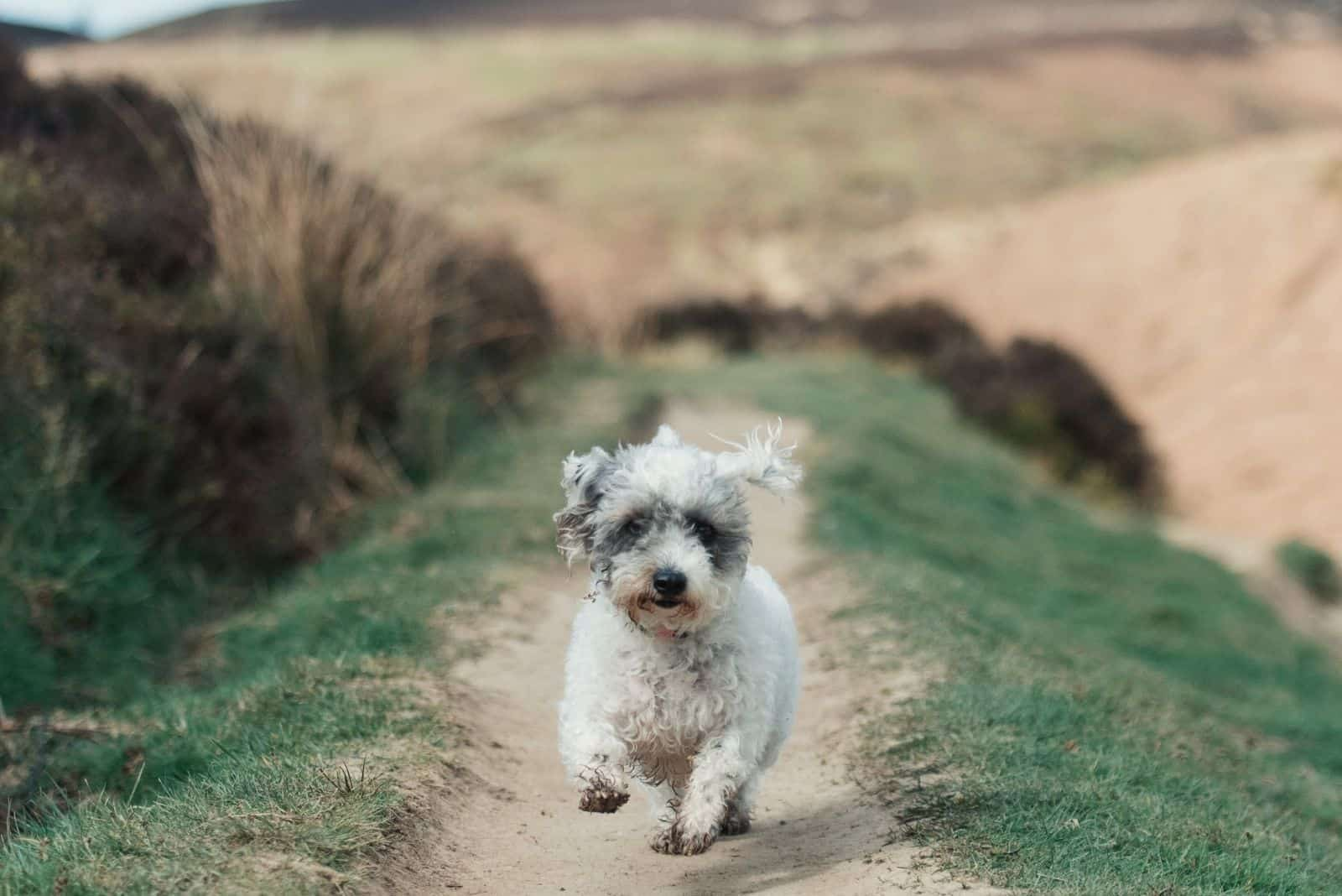 agile merle poodle running in the countryside