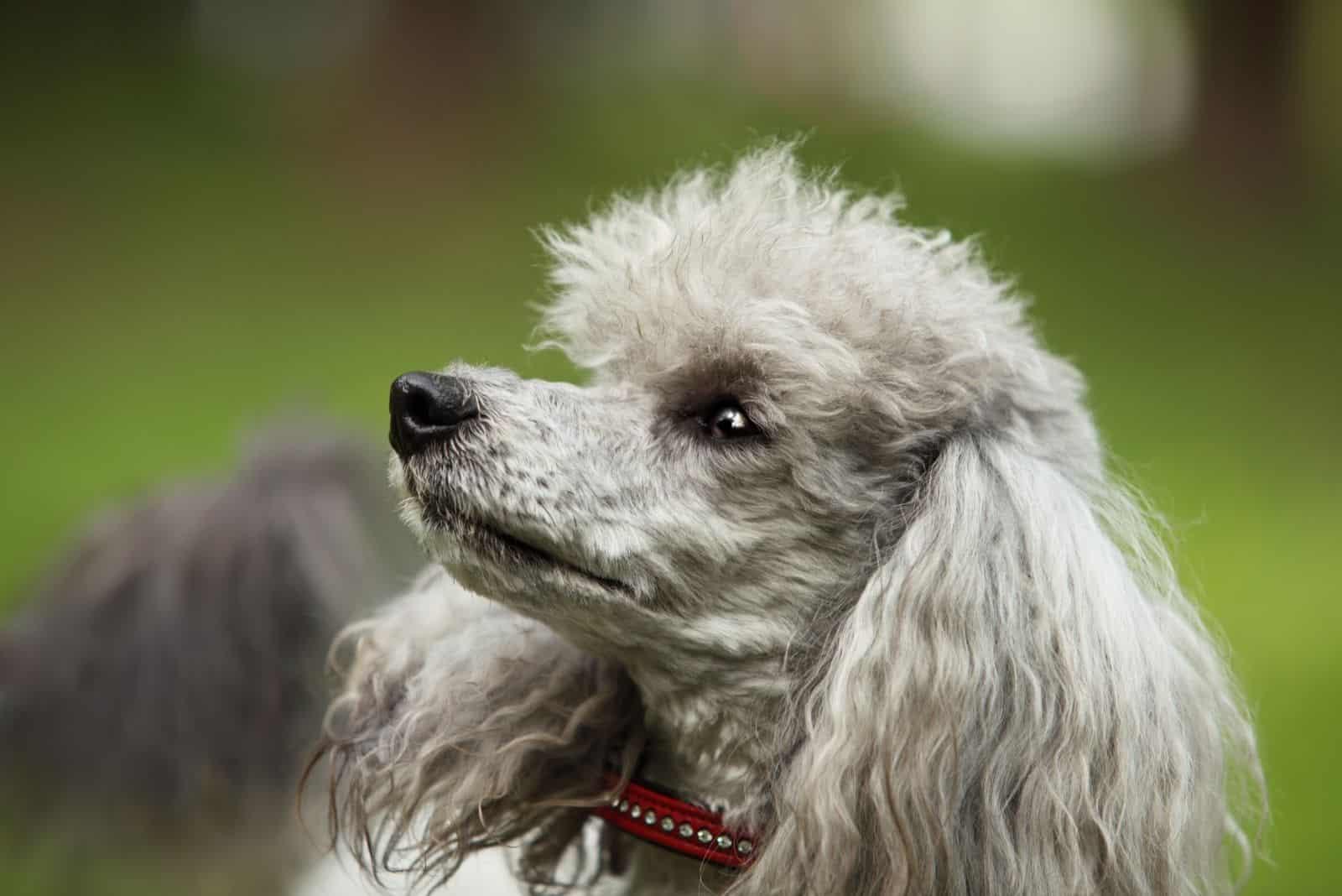 alert cute poodle with big ears looking up