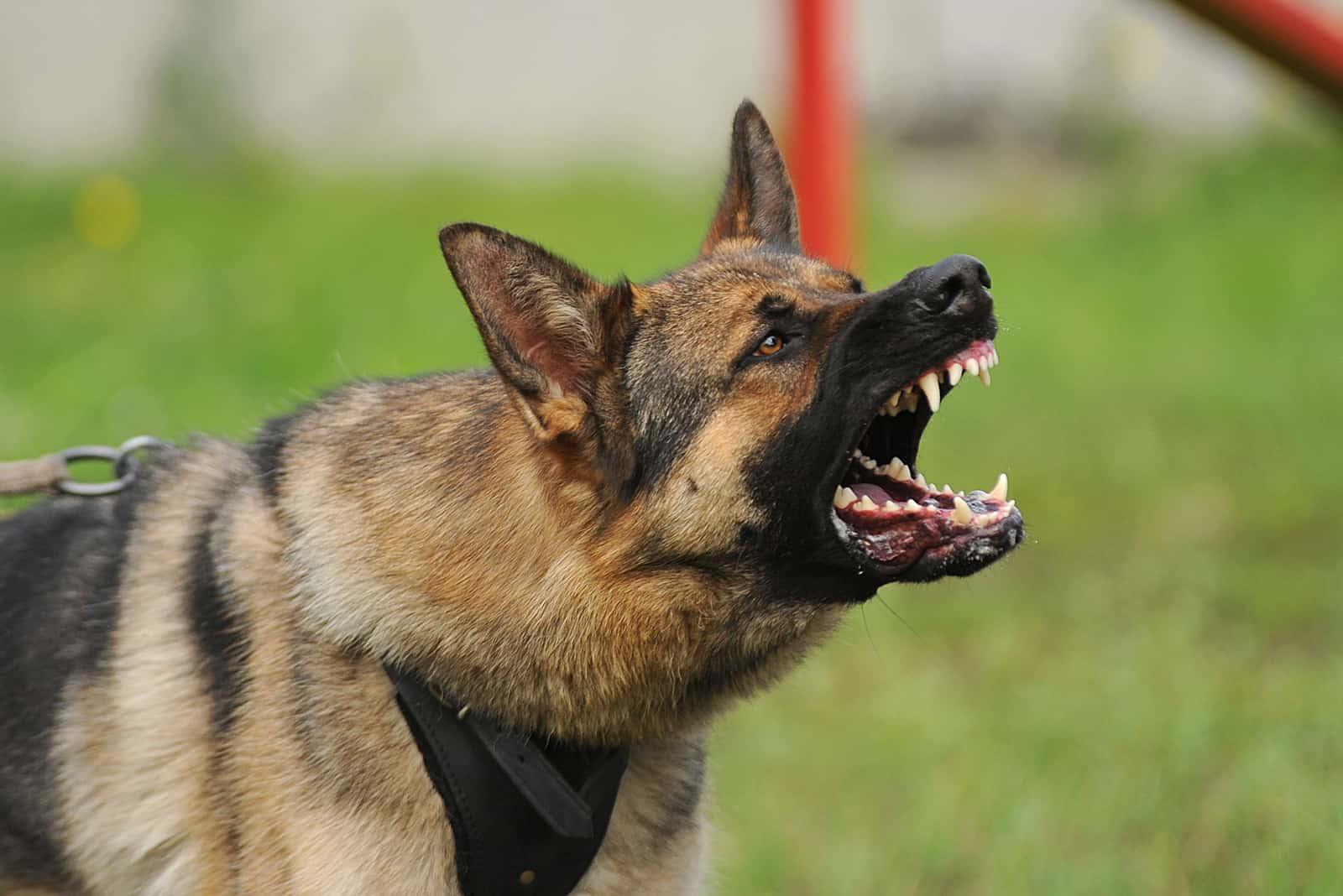 an aggressive German Shepherd barks