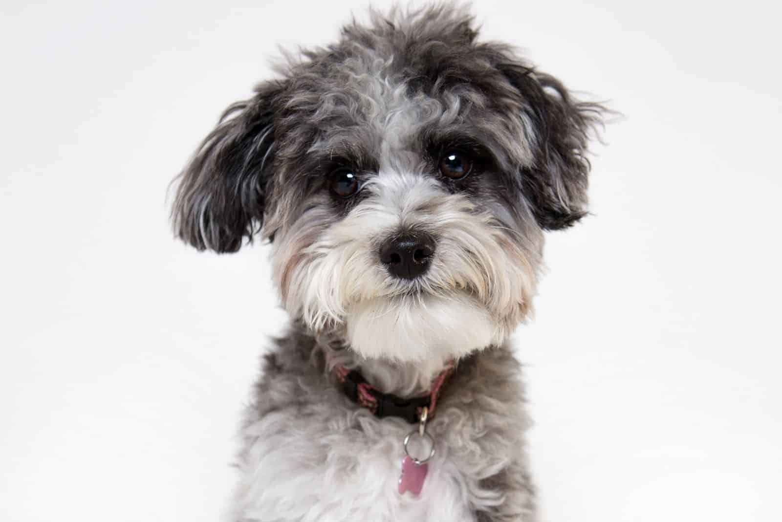 aussie merle poodle looking at the camera in white background