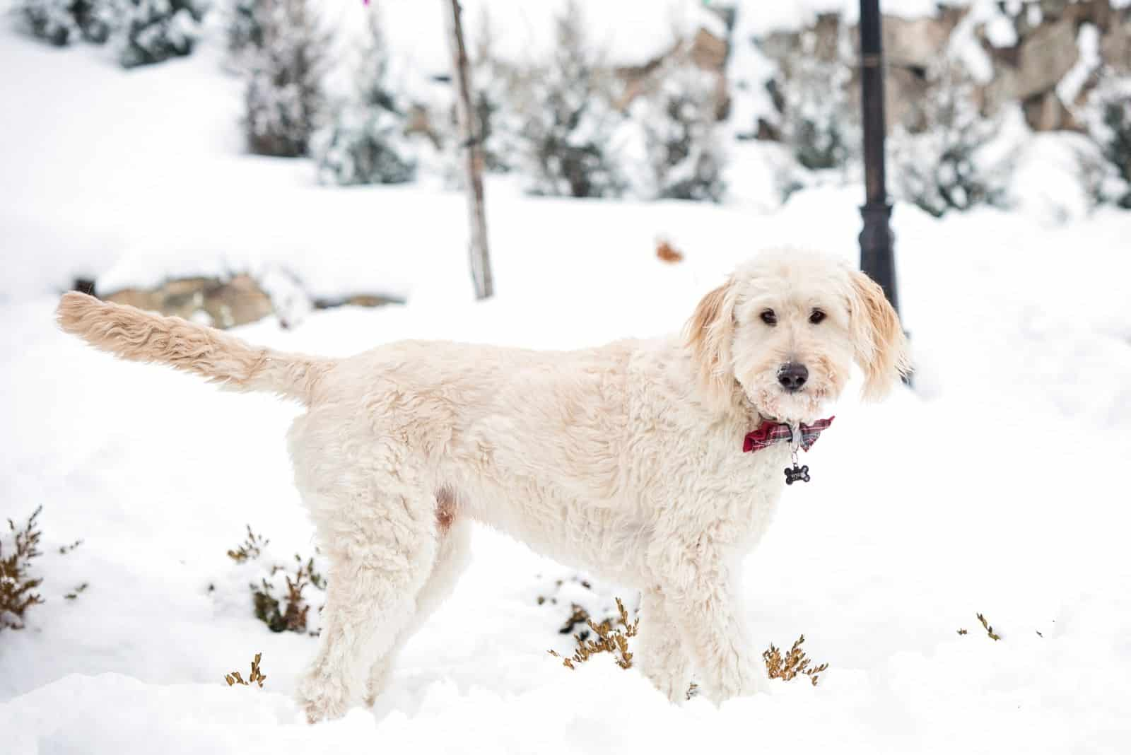 beautiful goldendoodle in winter standing in the snow