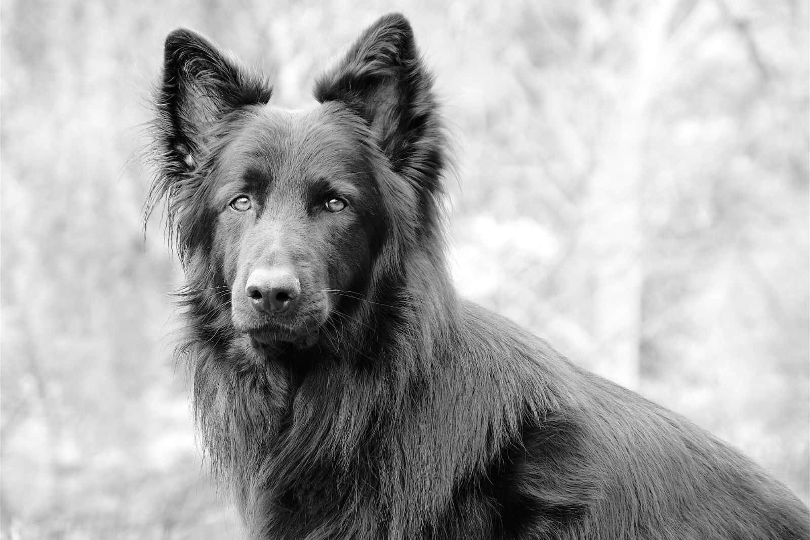 blue german shepherd outdoors in black and white photography