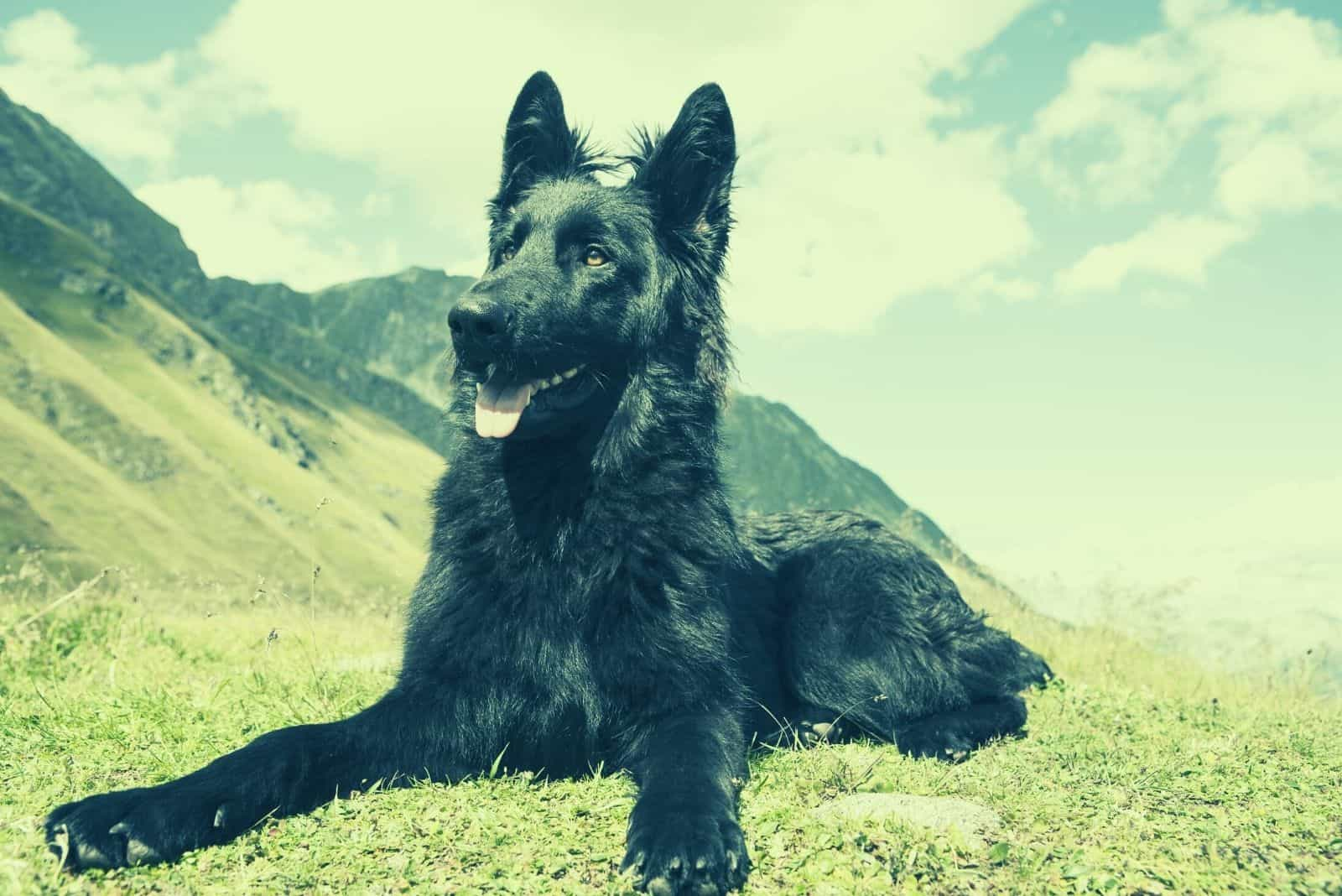 blue german shepherd dog lying down on ground in a mountain side