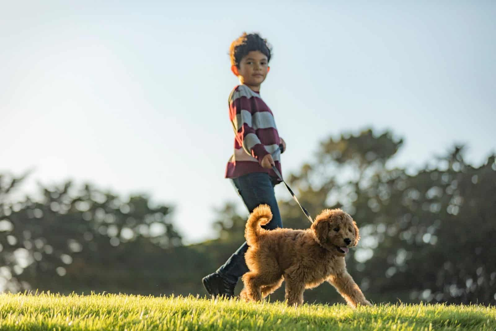 boy training a goldendoodle walking in the park with a leash