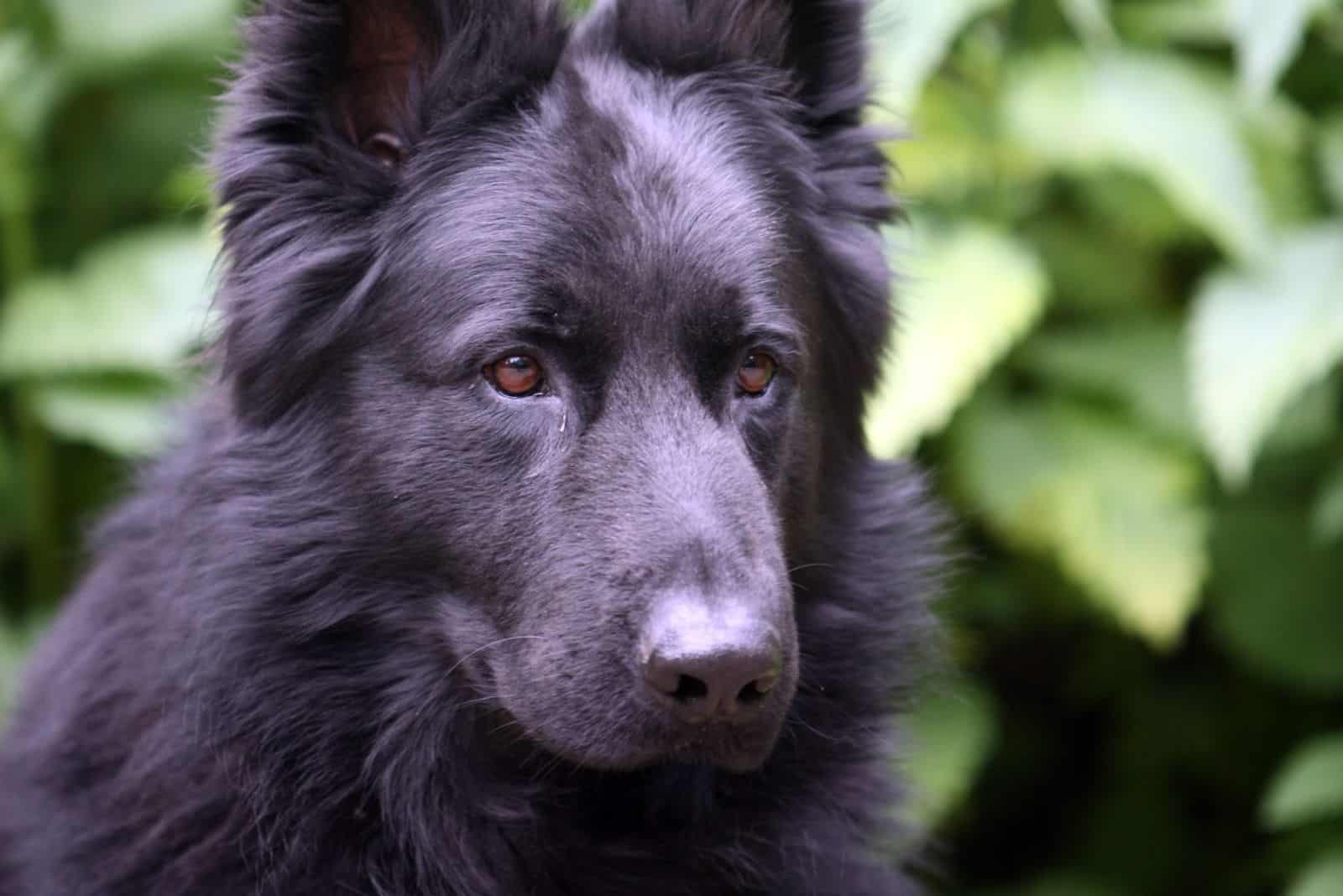 calm german shepherd looking away with plant background in a headshot