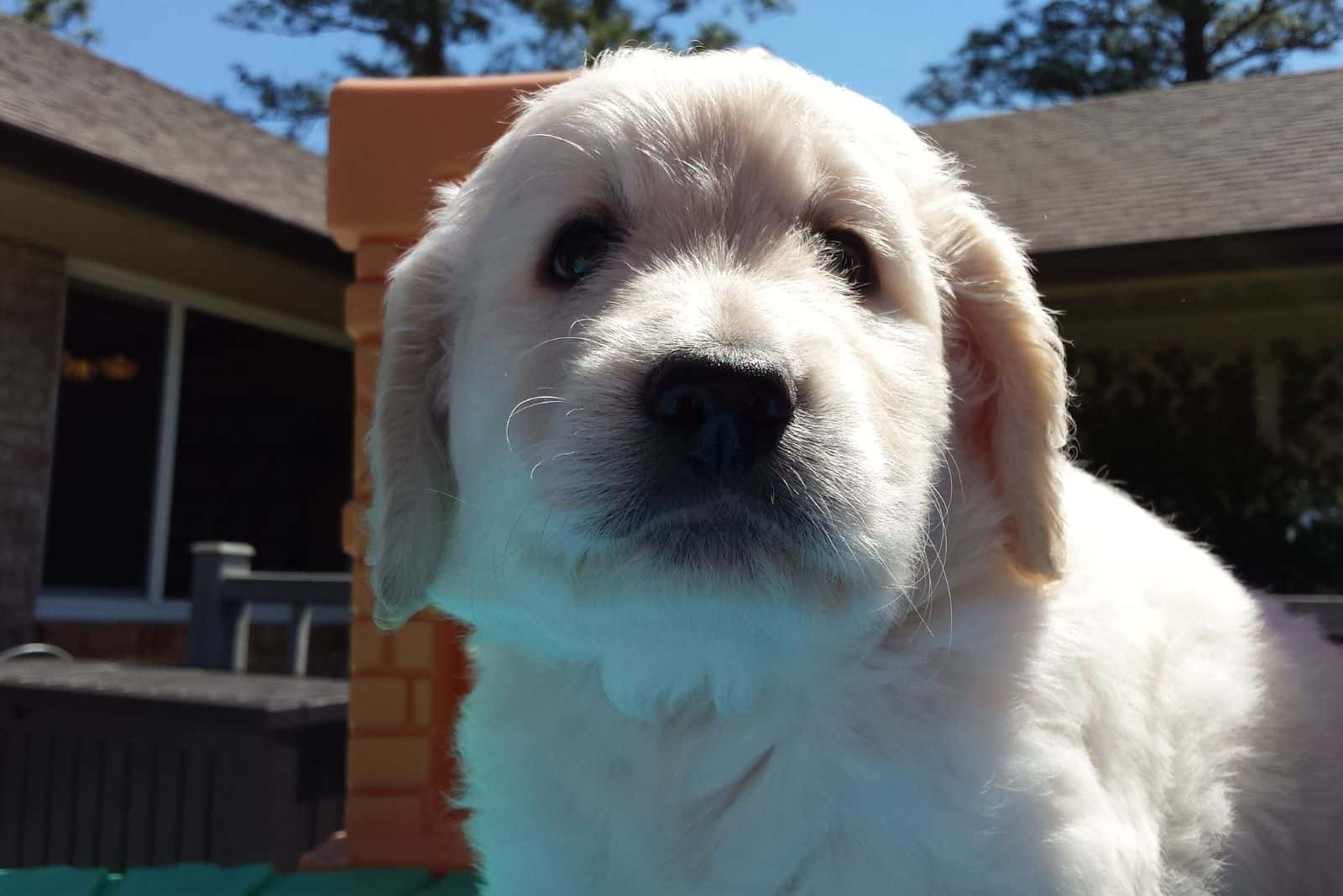 cream color goldendoodle puppy standing outdoors in close up image