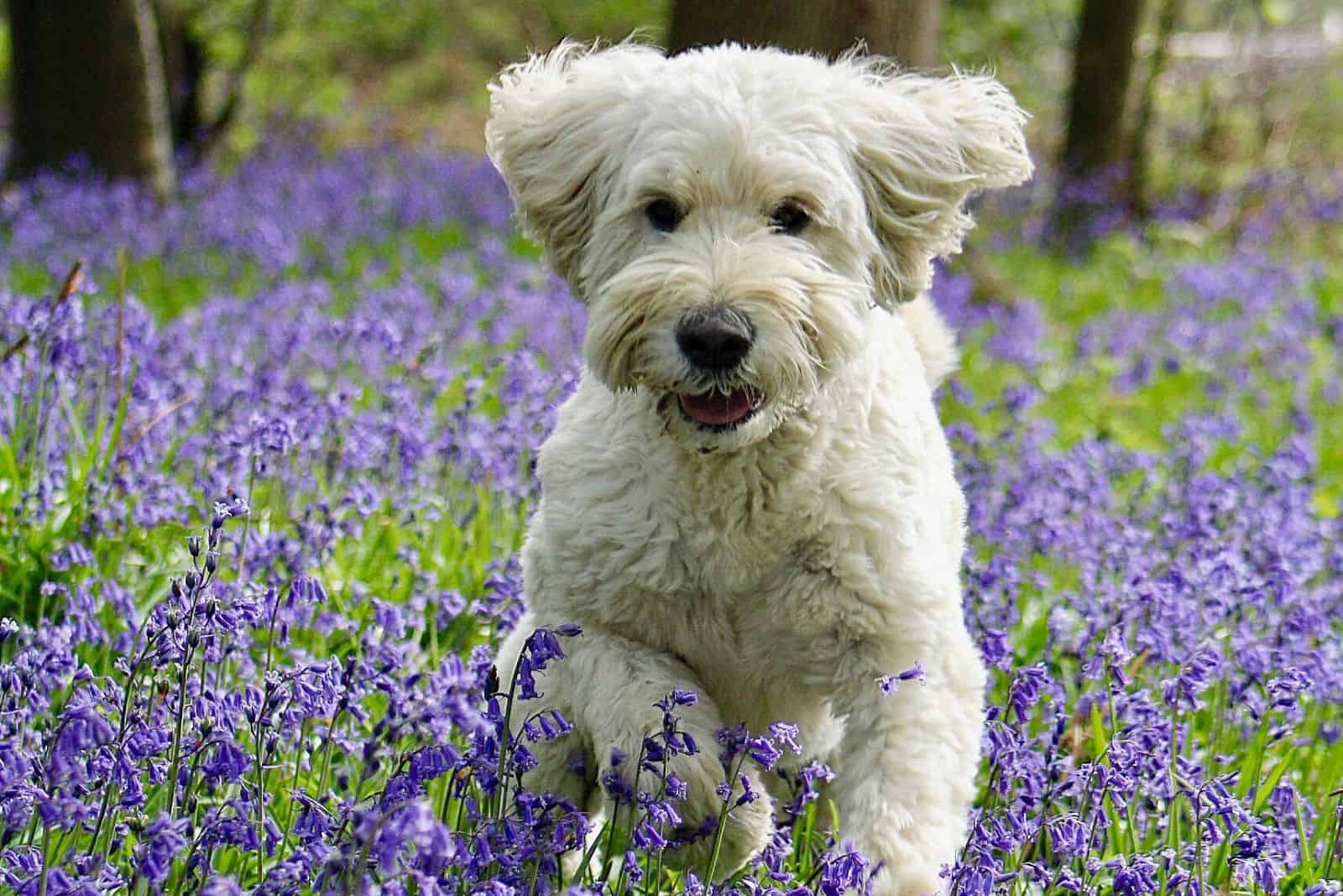 cream goldendoodle running in the bluebell field