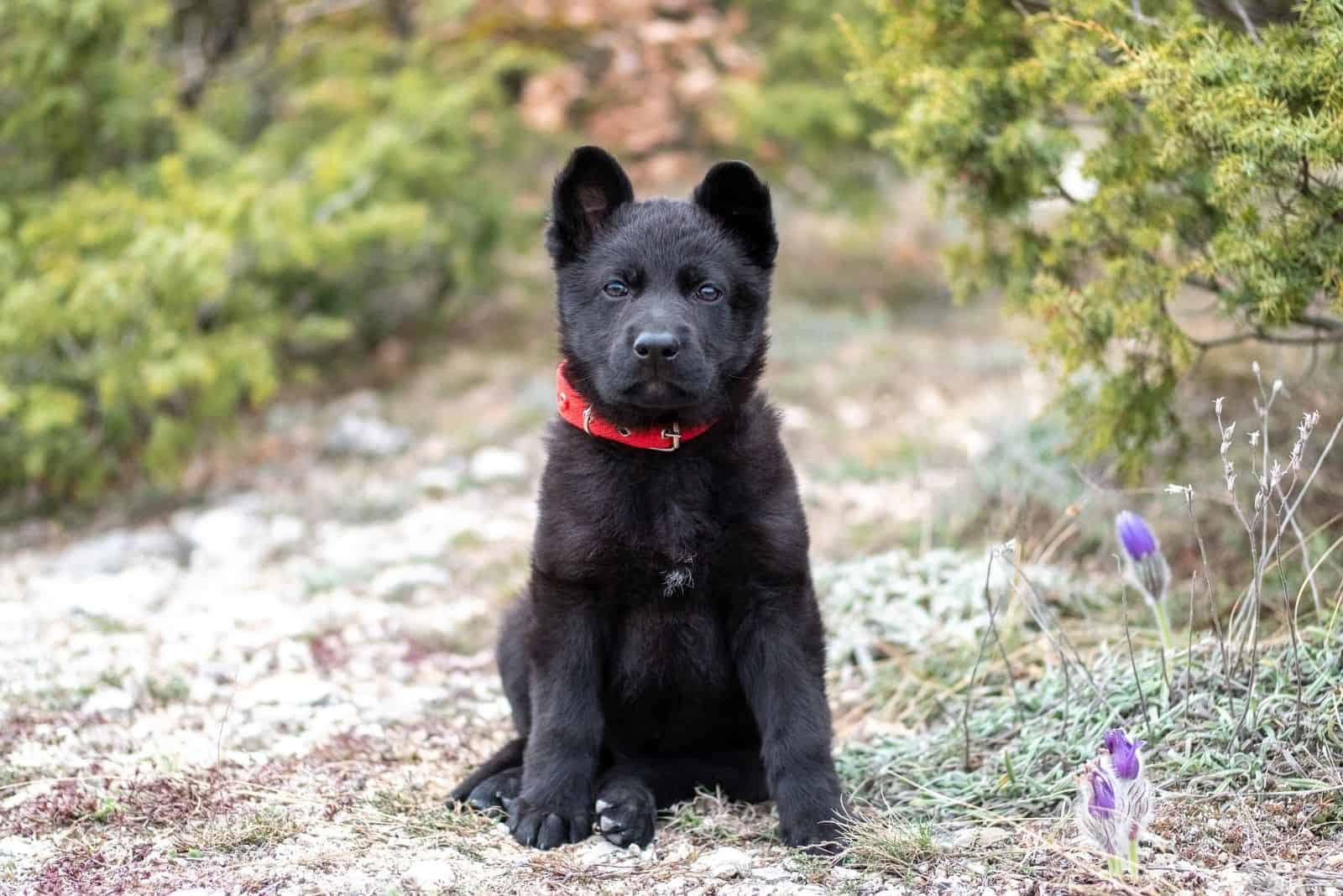 cute blue german shepherd standing outdoors with a red collar