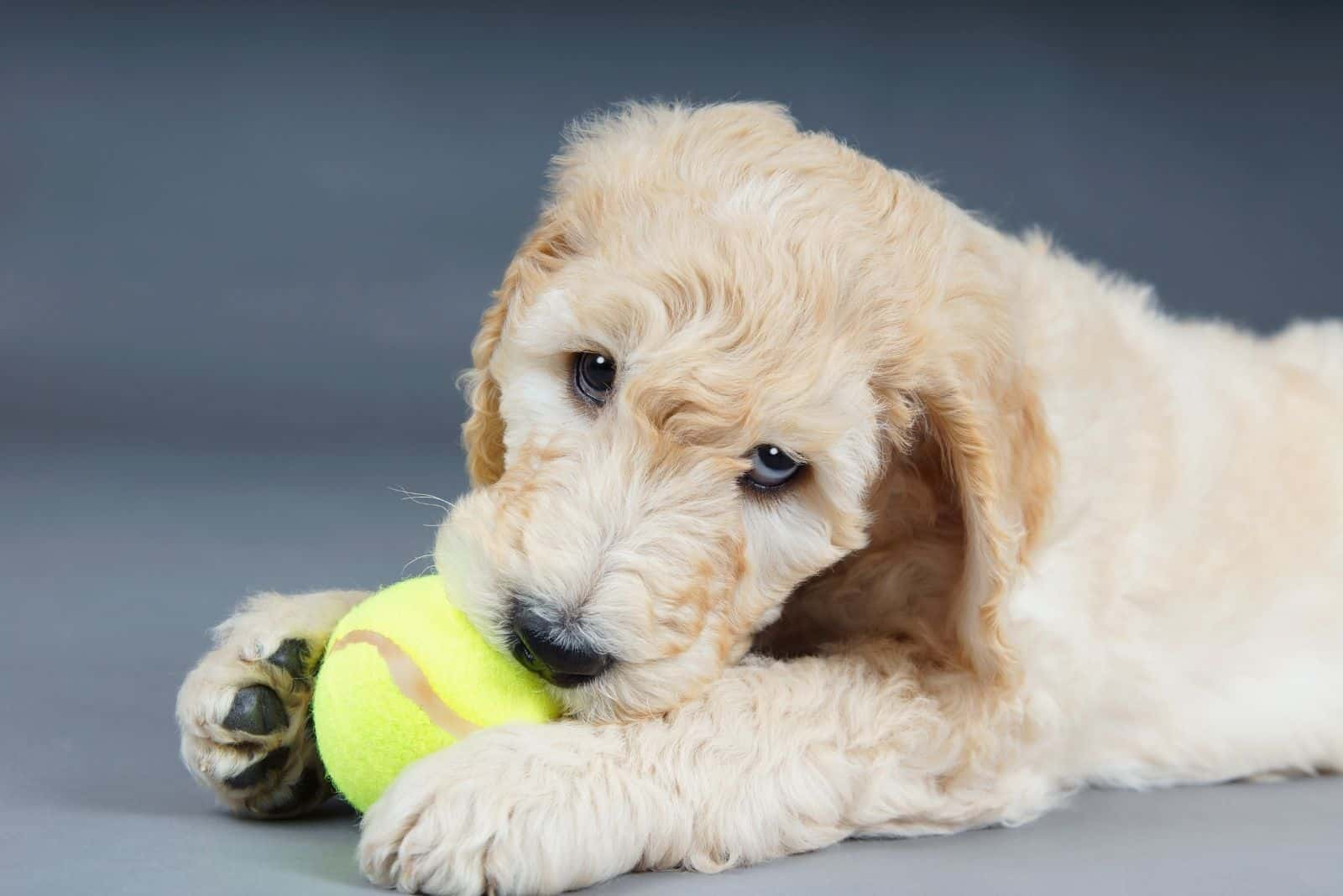 cute goldendoodle playing and biting the green ball