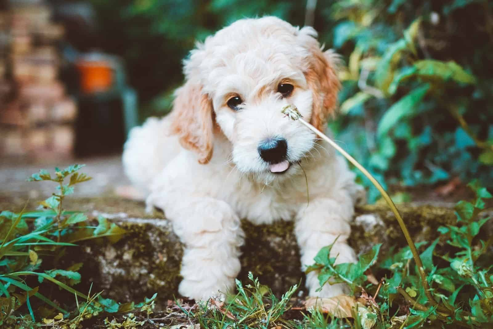 cute goldendoodle sitting puppy outdoors