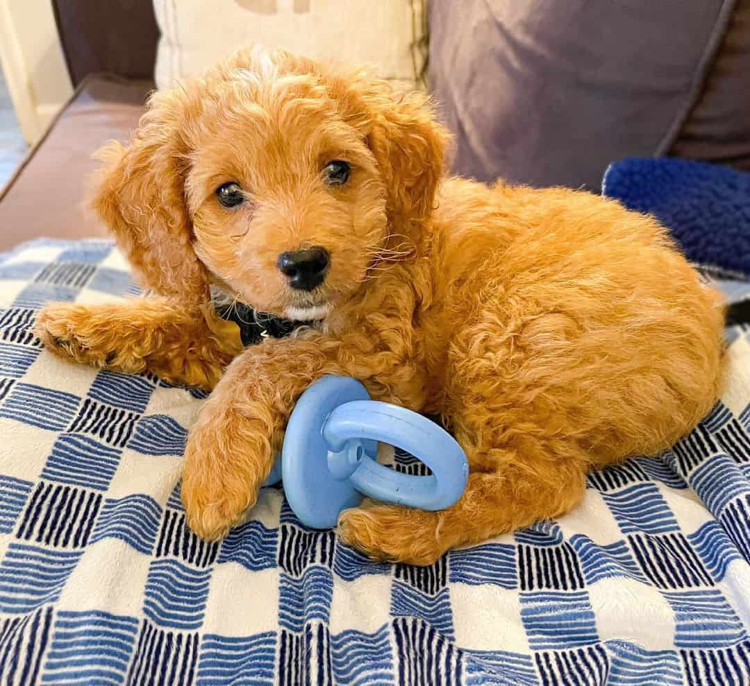 cute little F1B Cavapoo dog lying