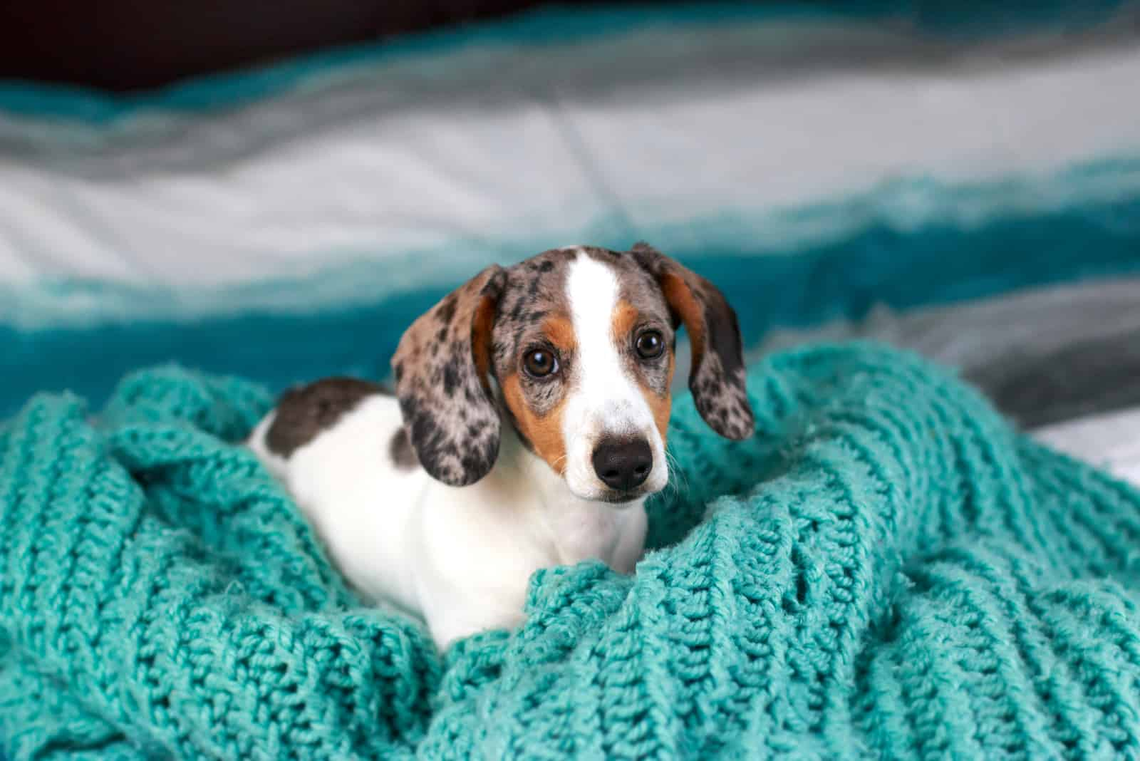 cute little dachshund puppy dog laying down on his blue cozy blanket looking up