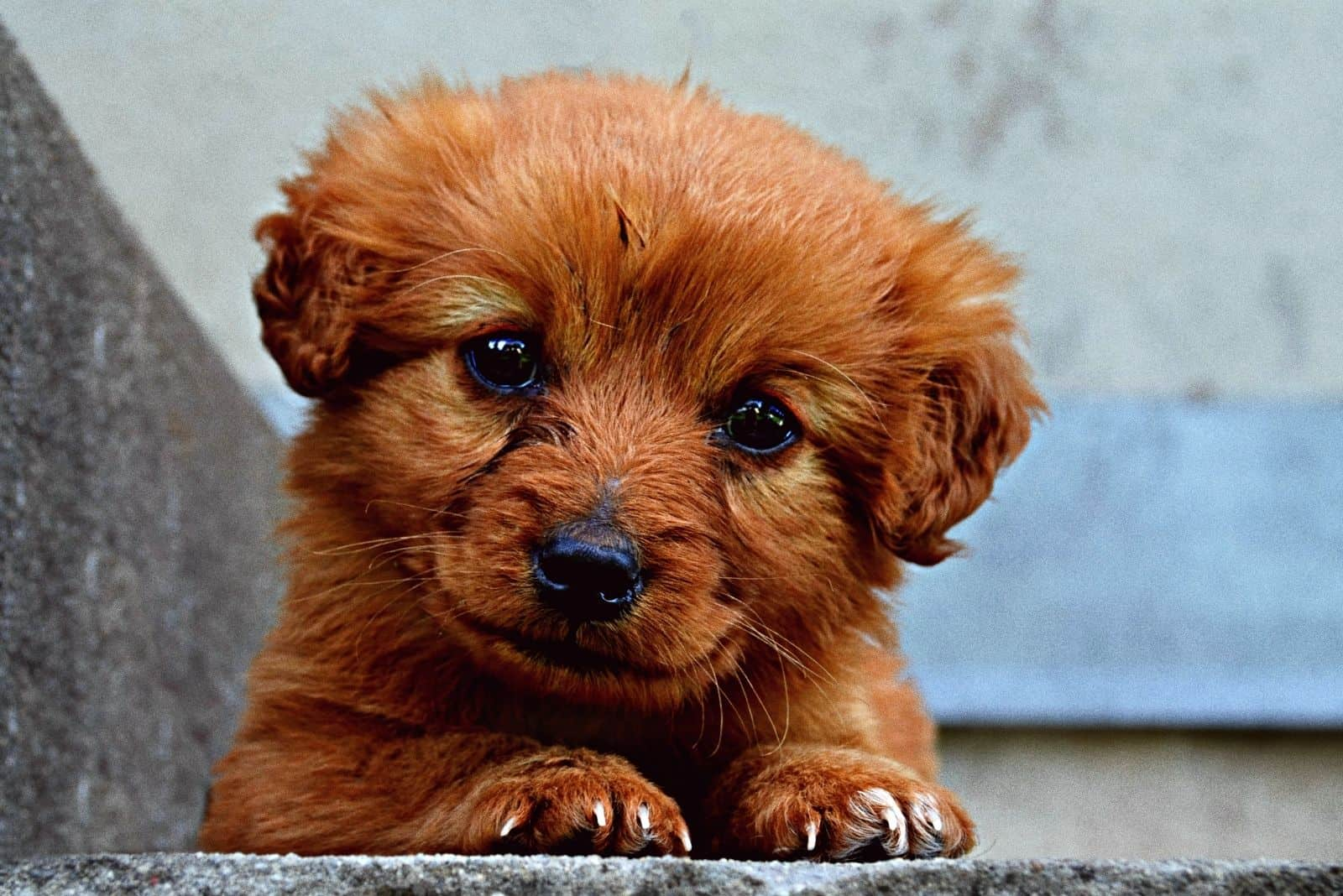 cutel little puppy brown color climbing up and look at the camera