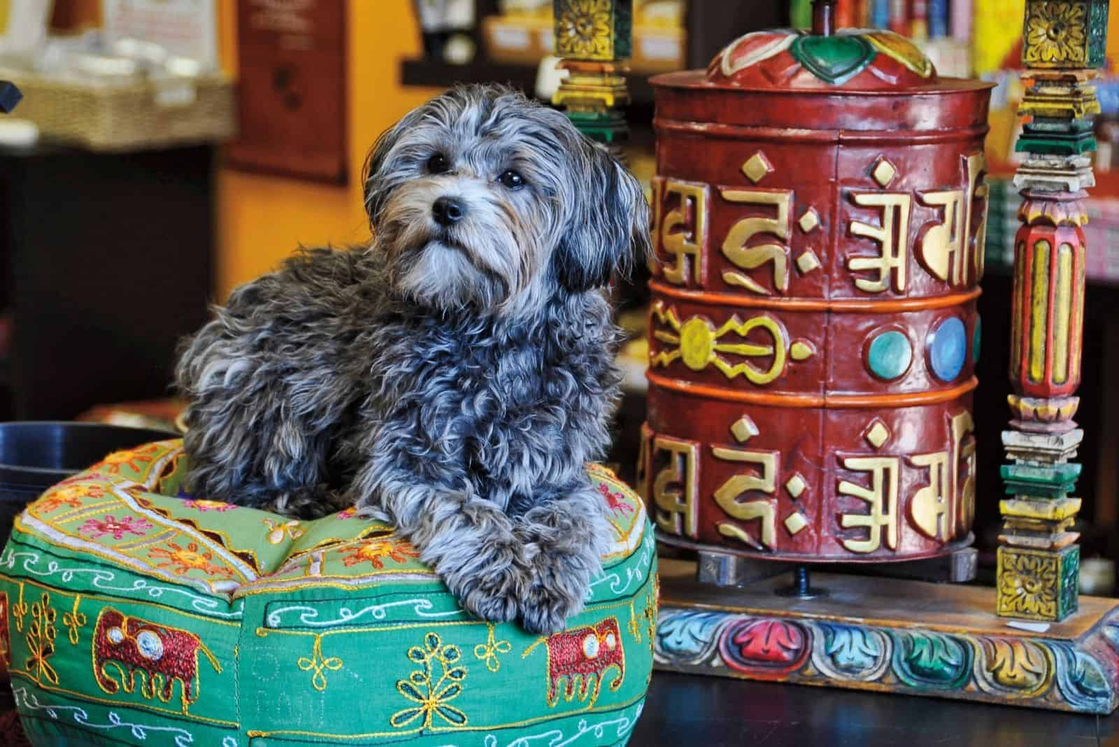 cute merlee poodle sitting on a Tibetan style pillow