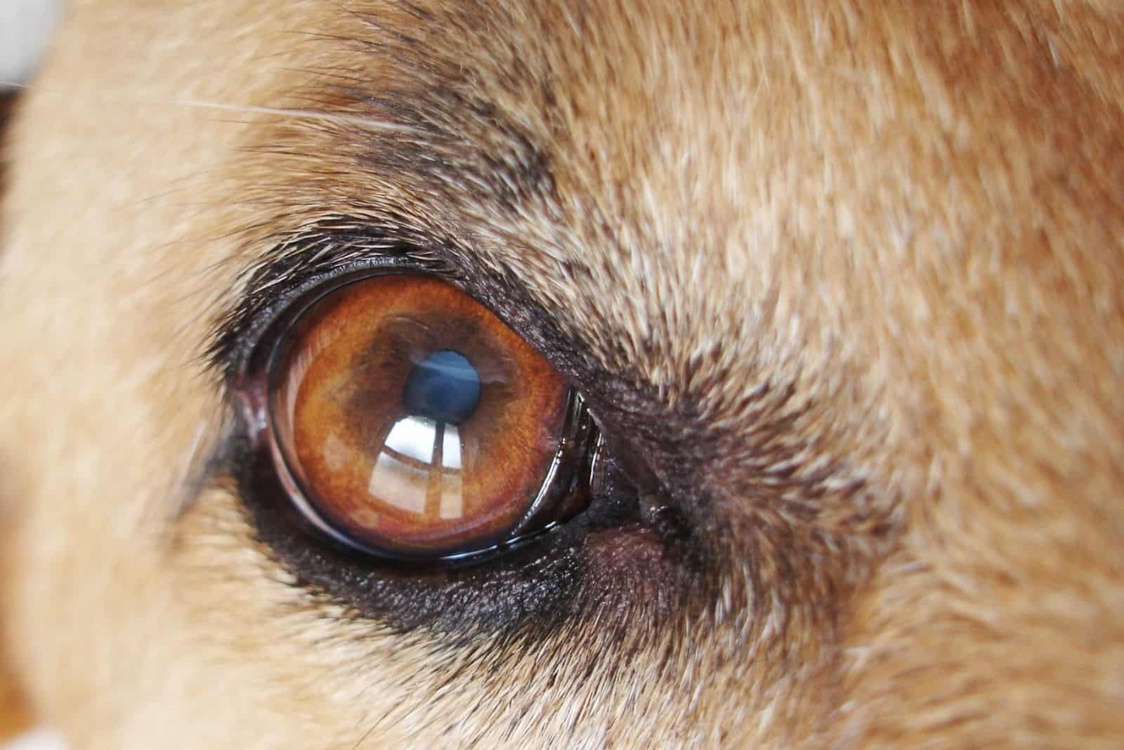 dogs eye with cataract on the lens of his eye in macro