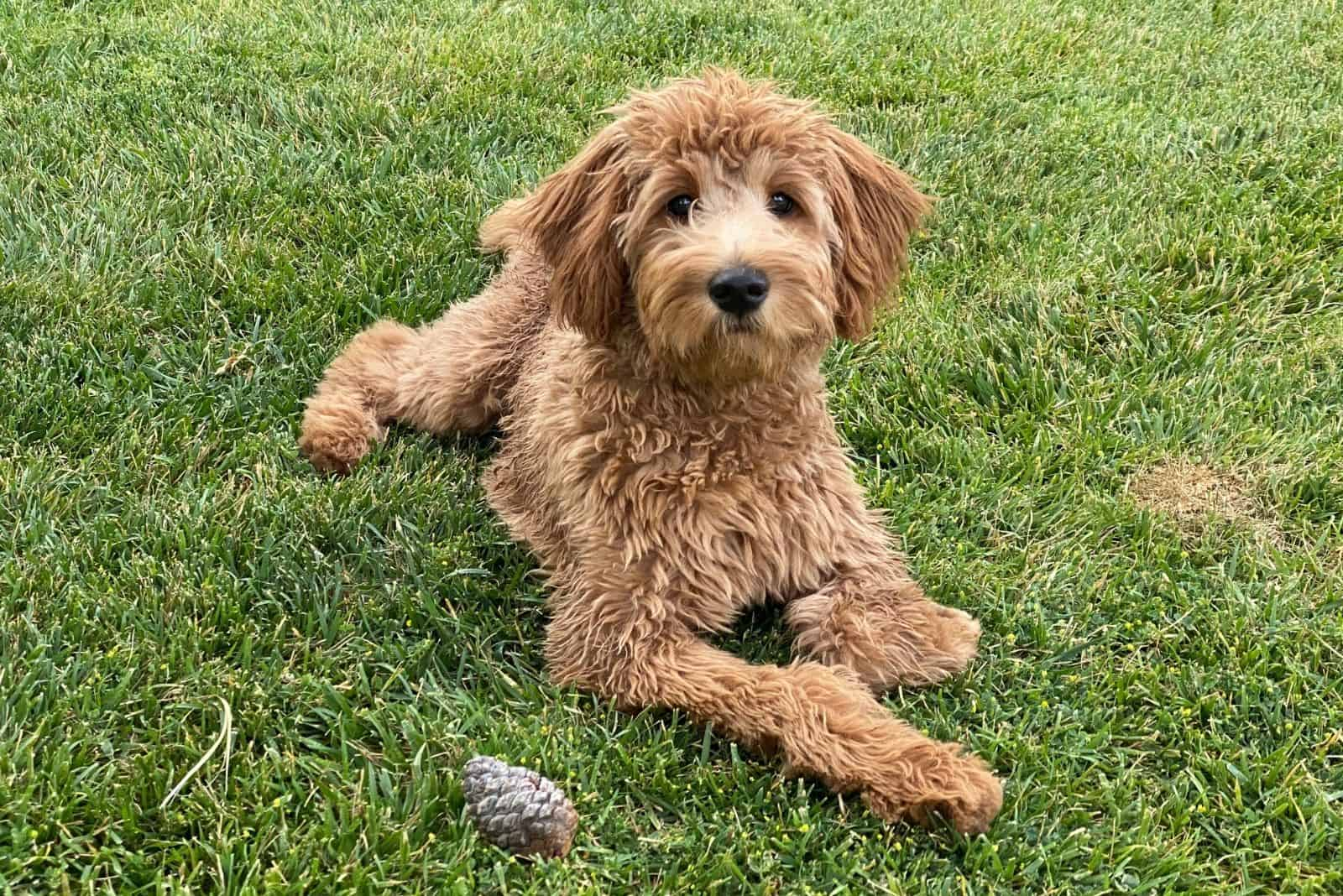 f2b female goldendoodle female lying down on the green grass outdoors