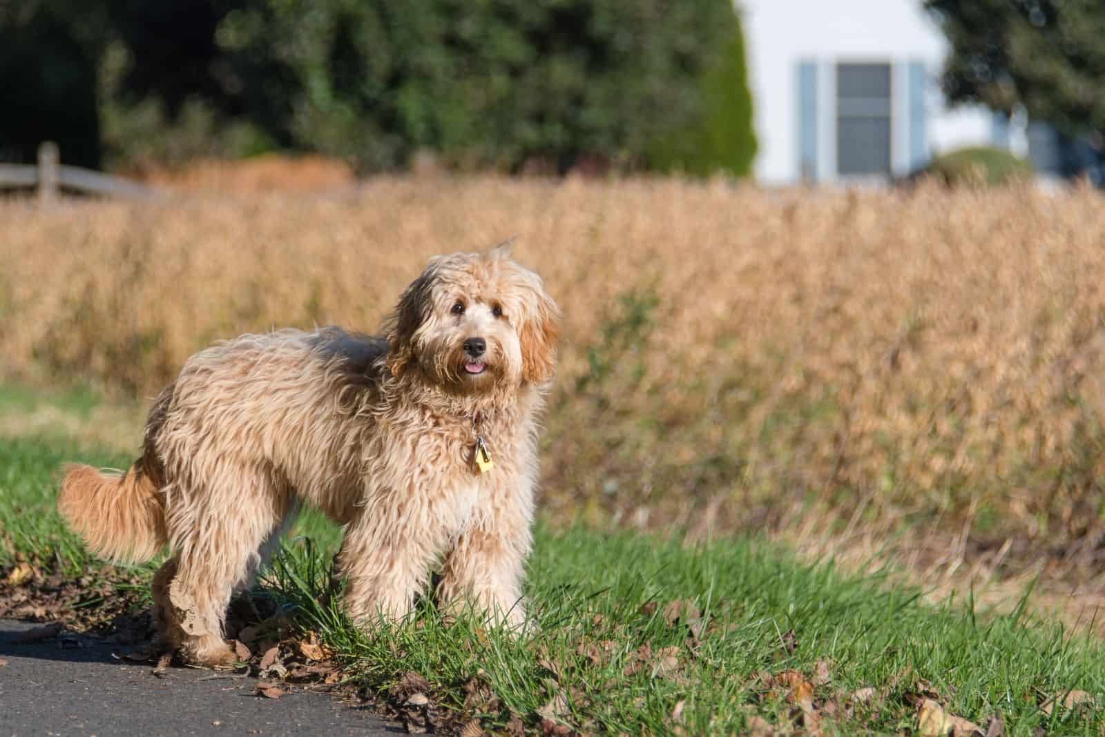 female mini goldendoodle f1b standing outdoors with dried grasses in the background