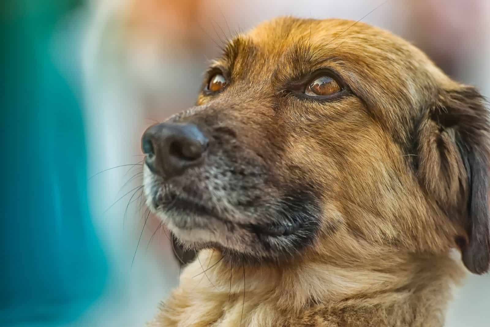 focus image of a dog looking upwards in a sideview