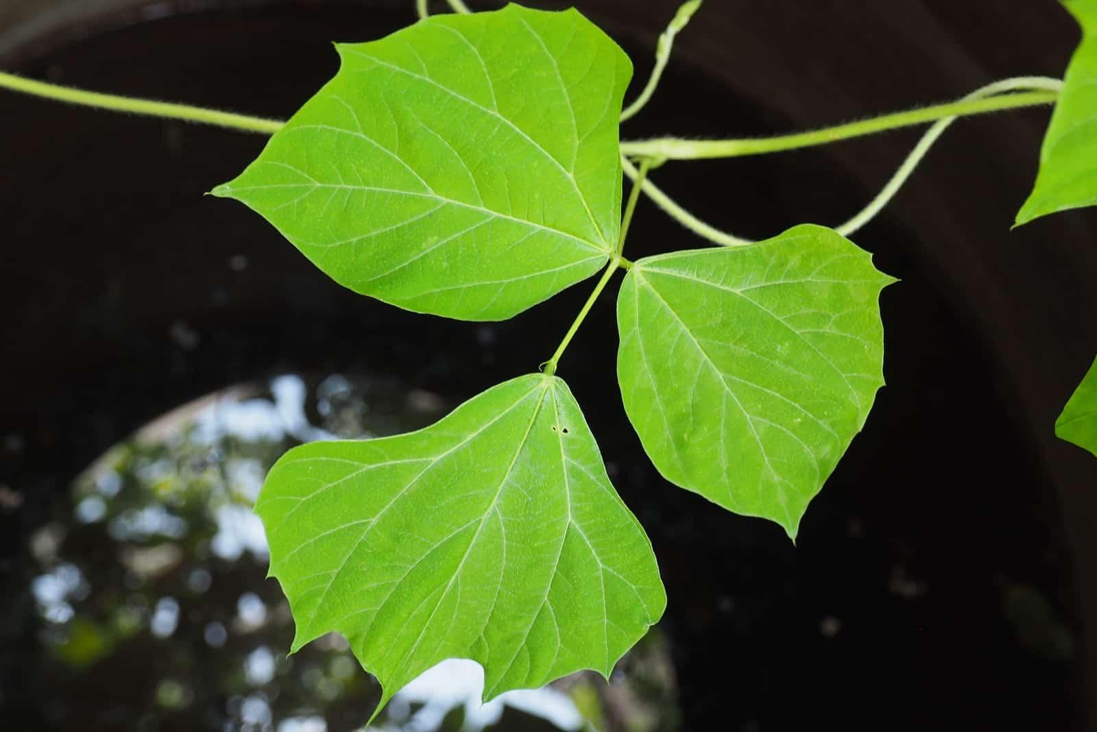 fresh jicame leaf