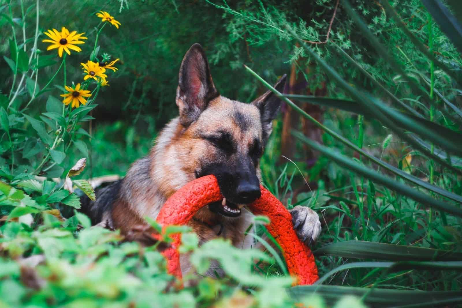 german shepherds plays with a toy