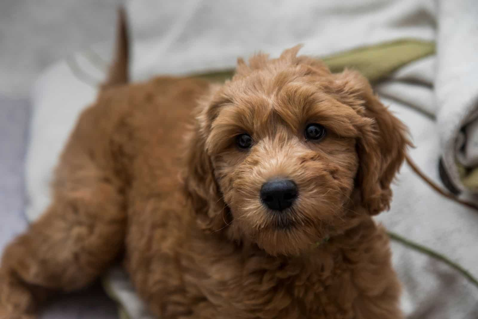 goldendoodle puppy relaxiing in bed at home