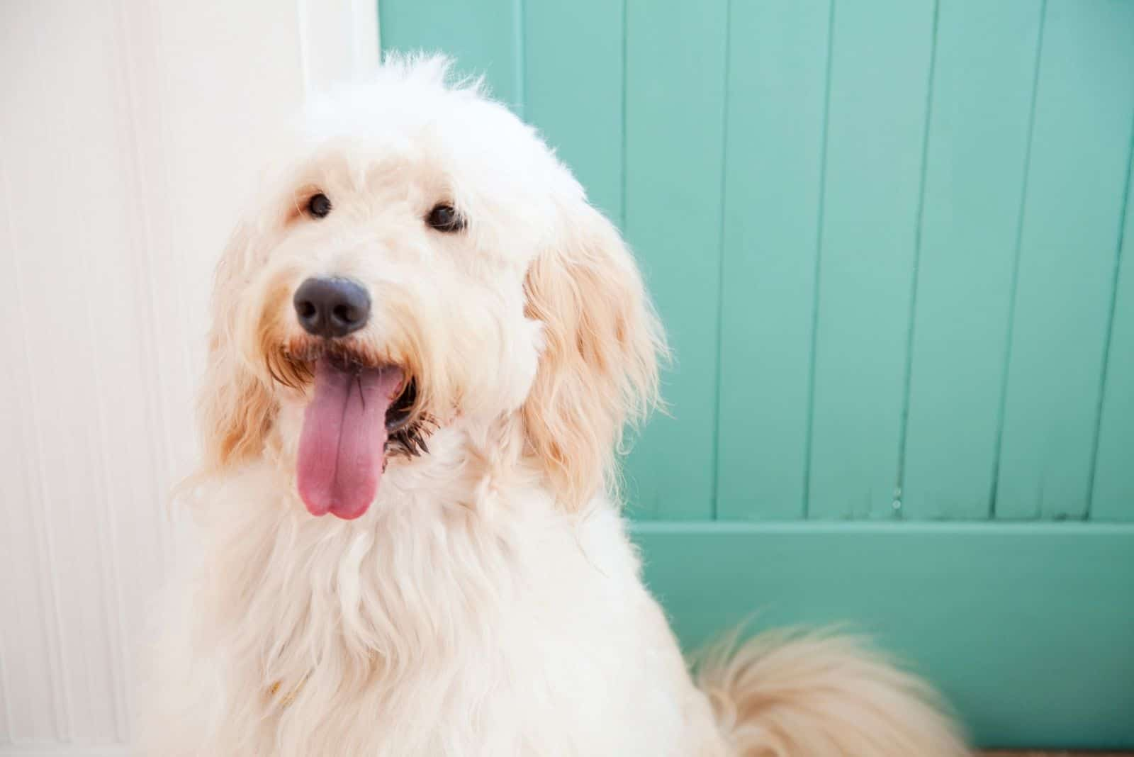 goldendoodle standing outdoors with torquise door at the background