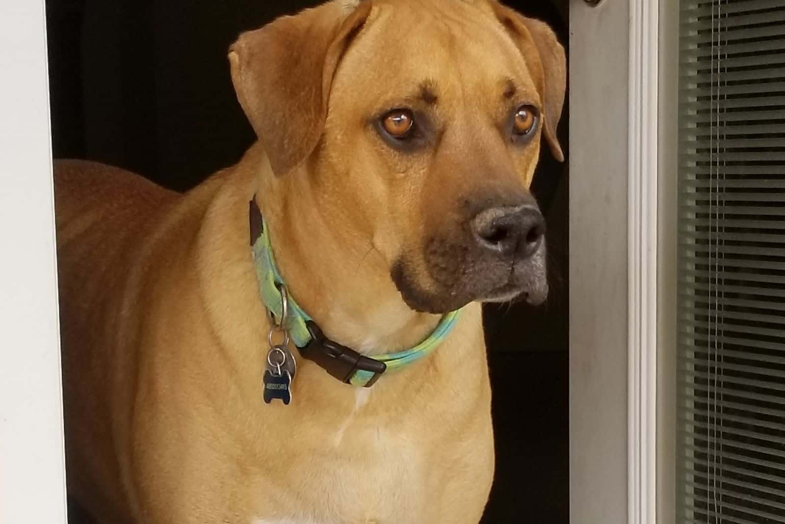 great dane mix breed standing in the doorway looking outside