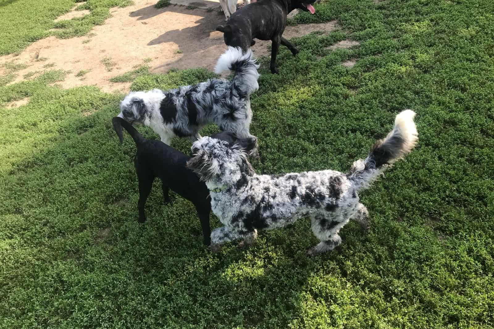 group of mixed poodles merle and mixed breed on the lawn in a high angle