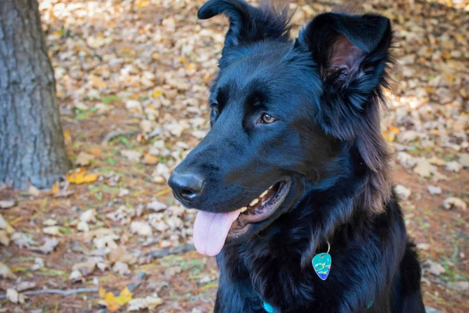 happy german shepherd with togue hanging out sitting outdoors