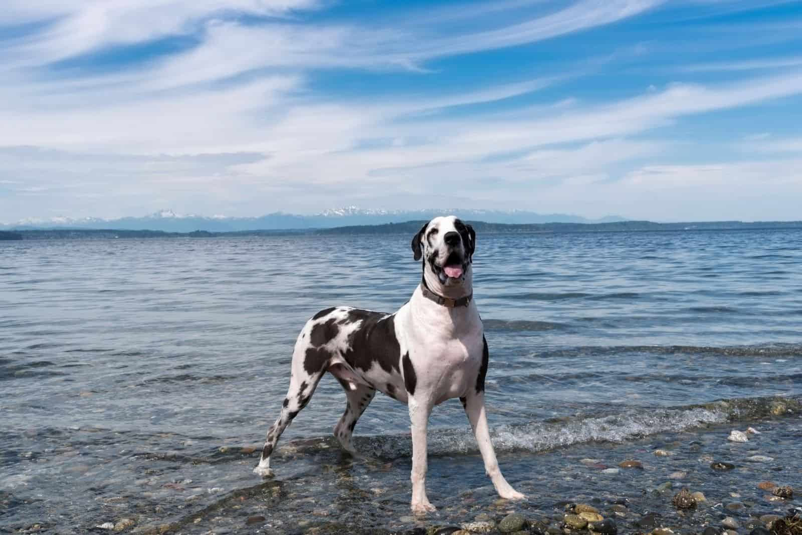 harlequin great dane standing on rocky beach under wisp blue sky