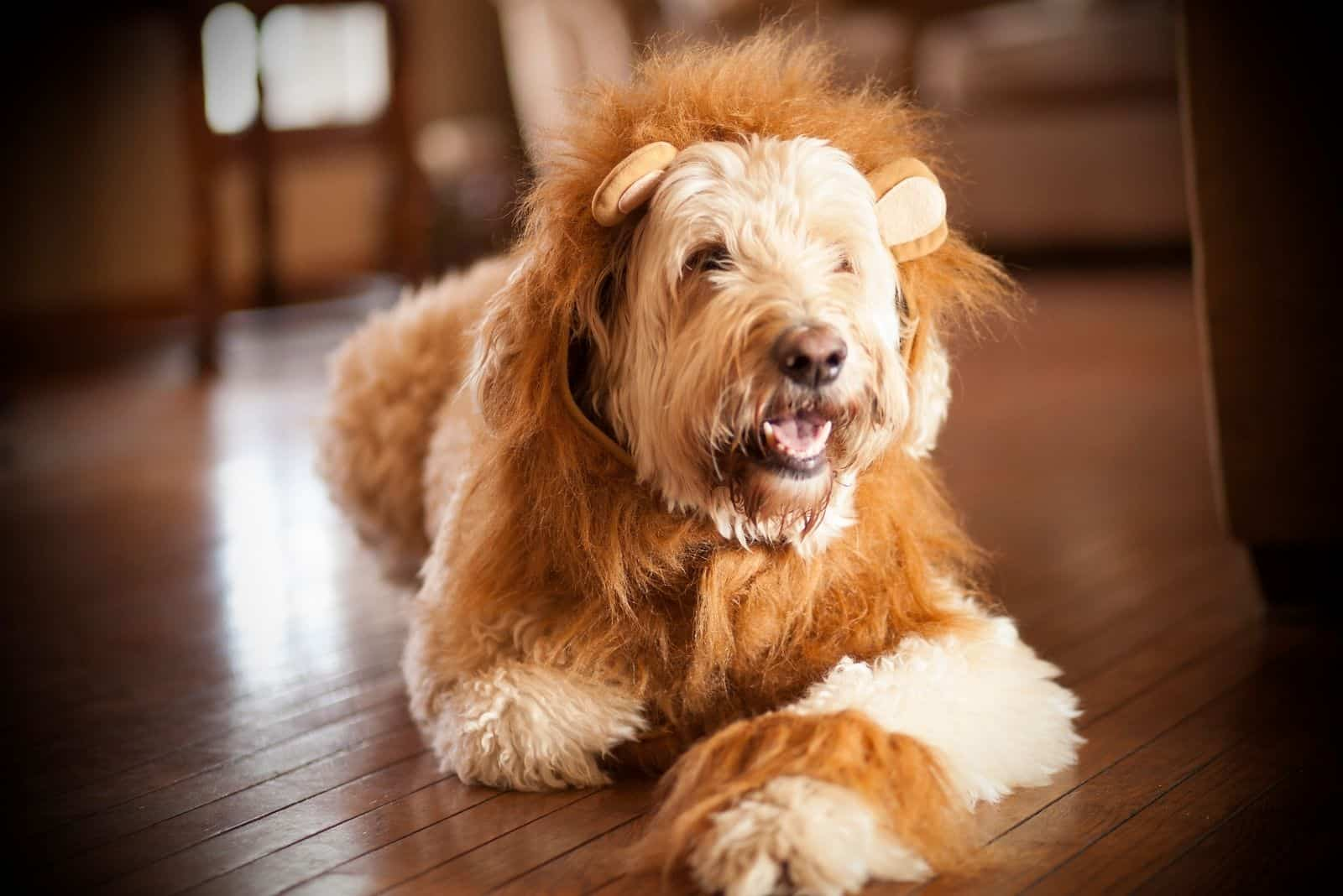 lion costumed goldendoodle sitting on the wooden floor of the house