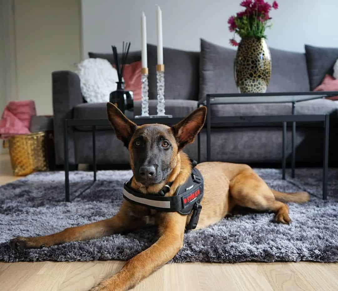 malinois dog lying on the carpet