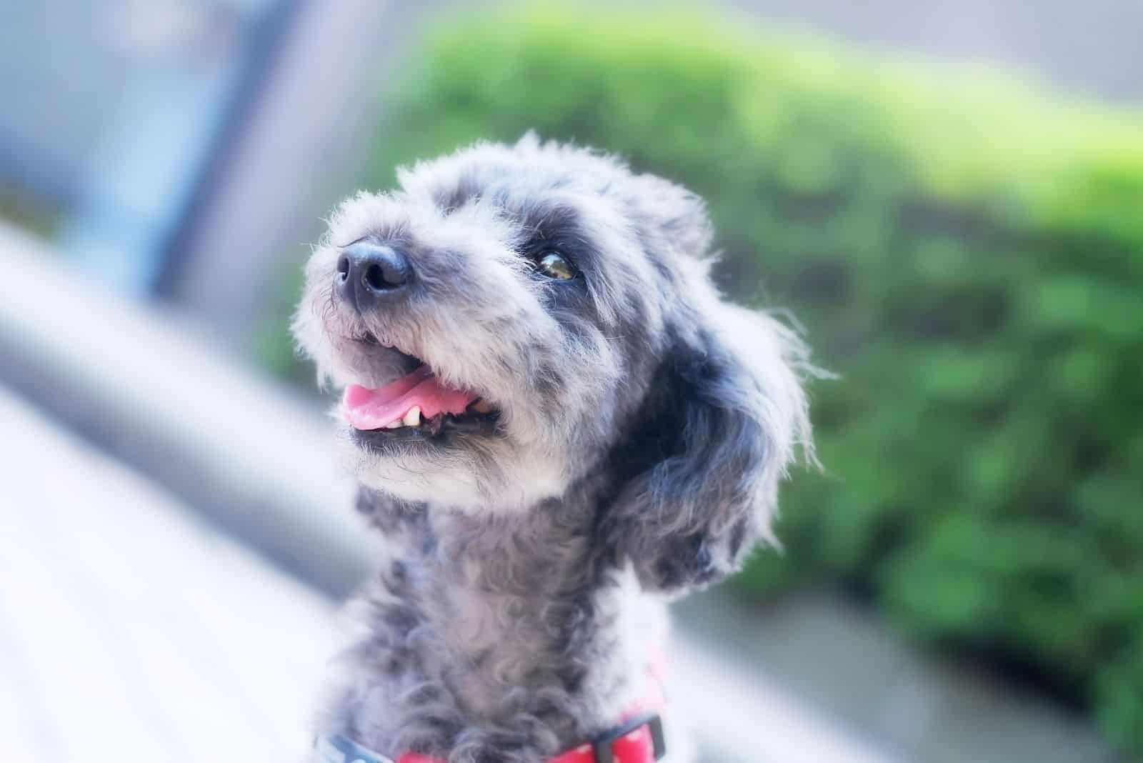 merle toy poodle in head shot of an outdoor photography