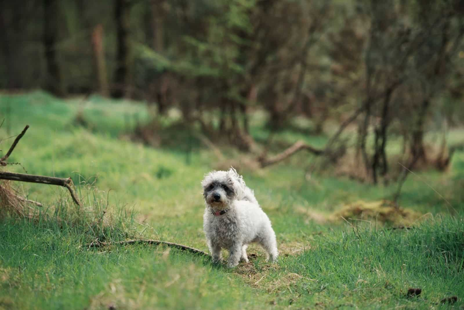 mixed breed poodle in the middle of the wilderness