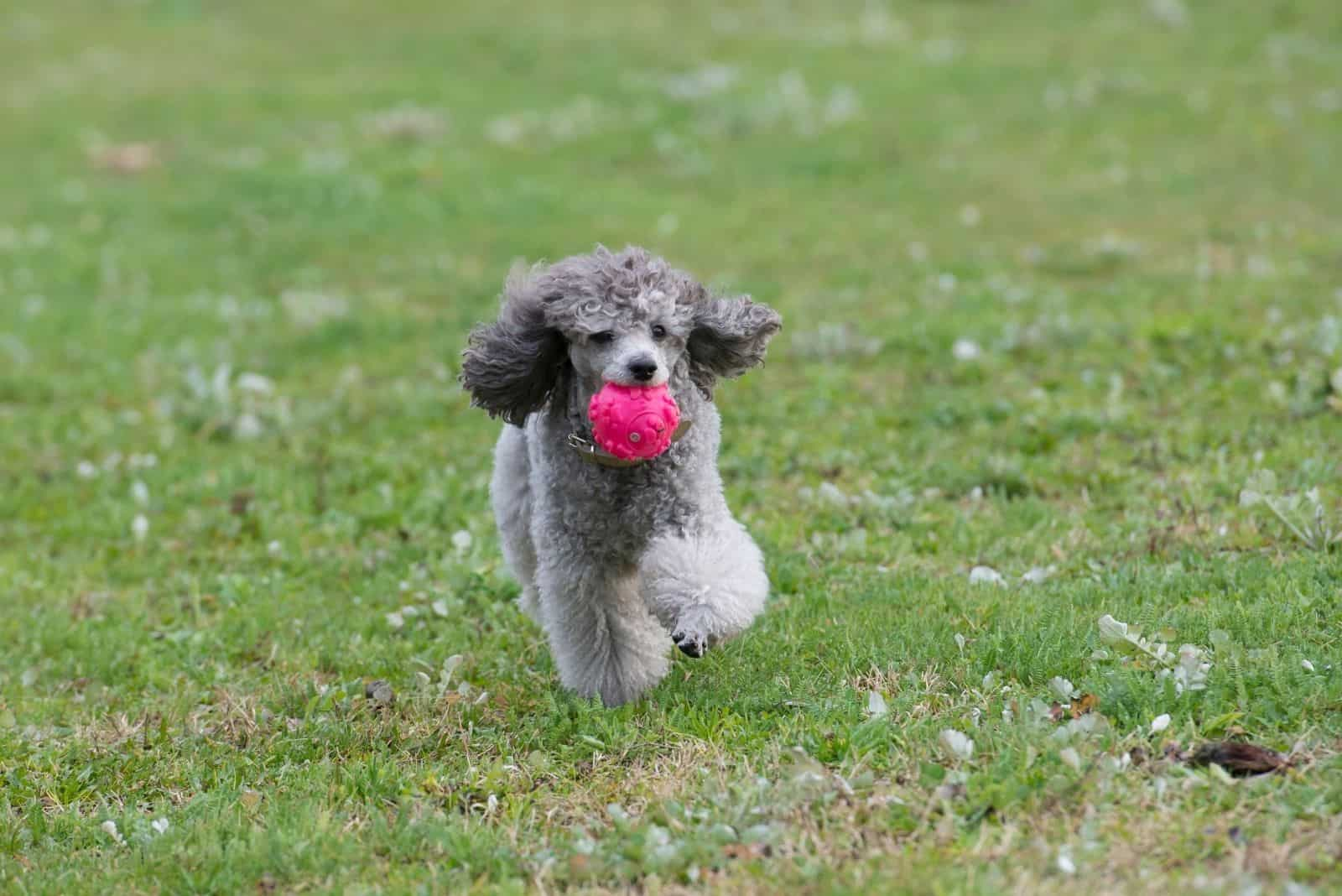poodle playing in the field with a pink ball in its mouth and running